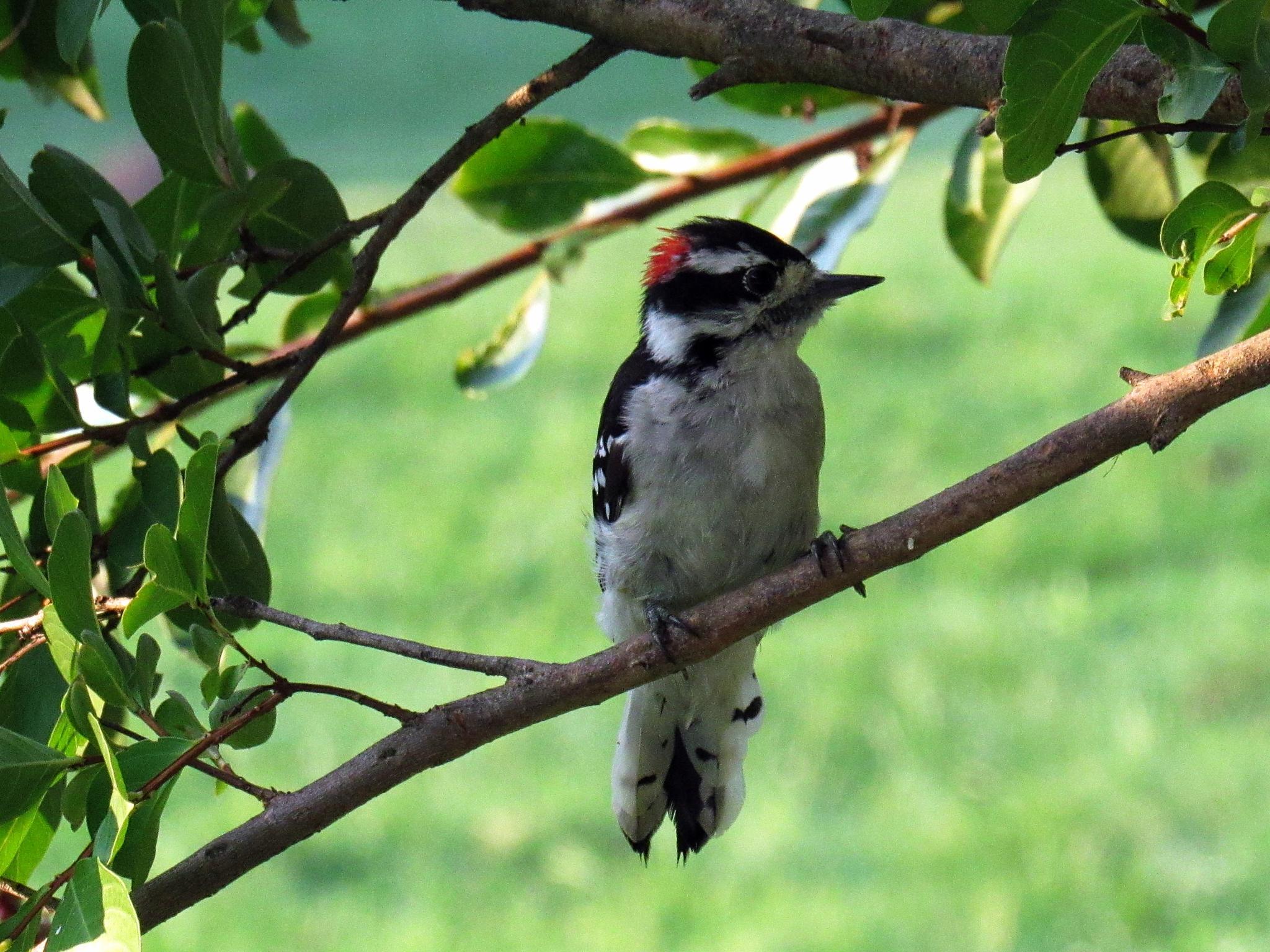 Our Male Downy Woodpecker by Catherine Wegener