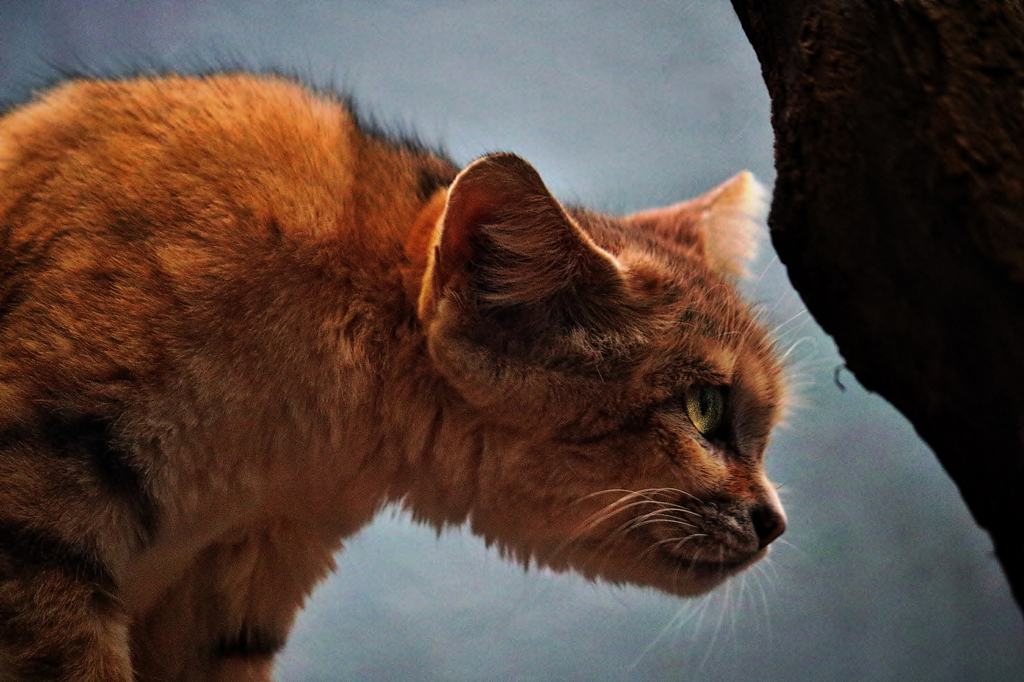 African Sand Cat by Catherine Wegener