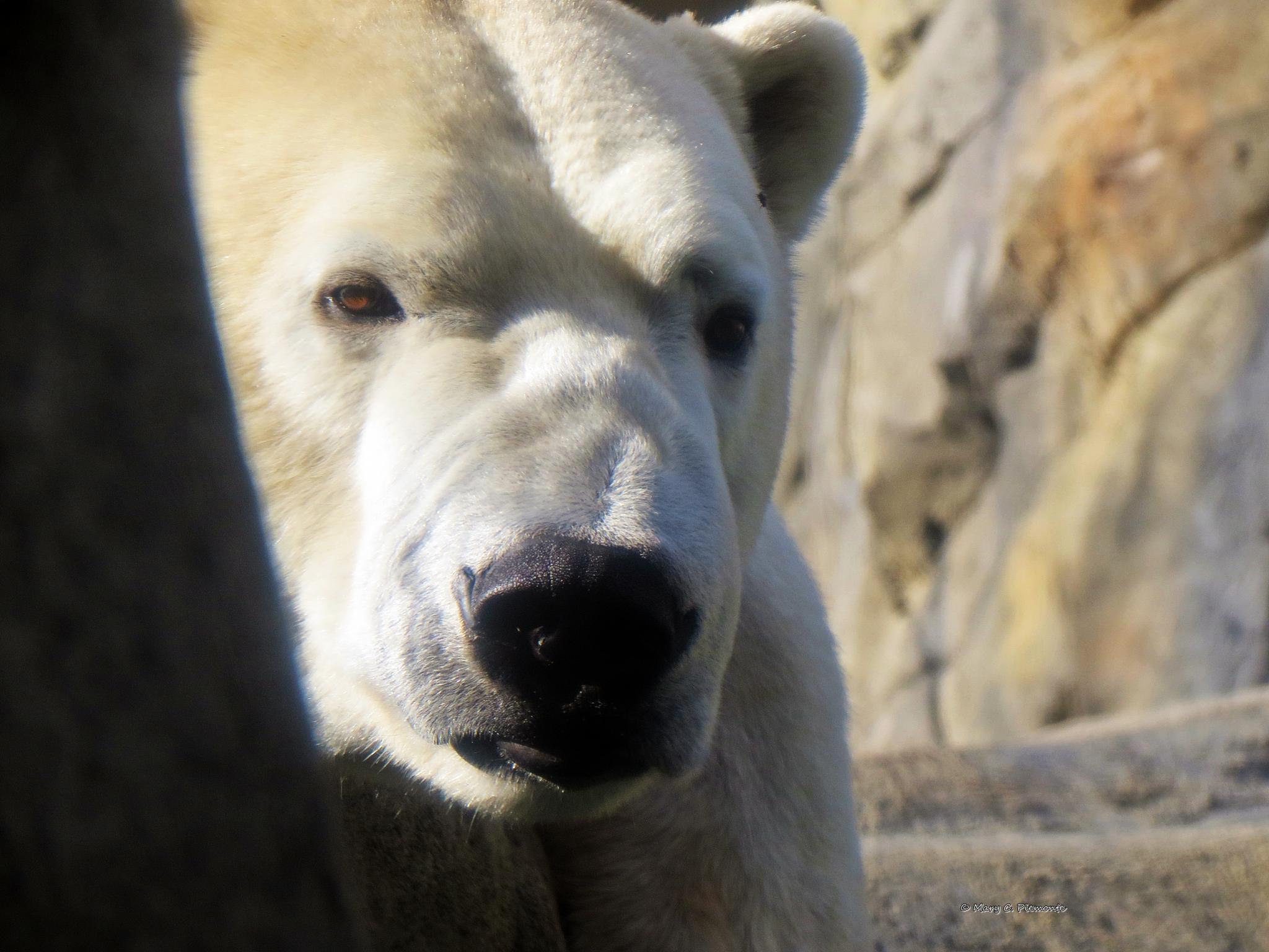 Polar Bear by Catchietales