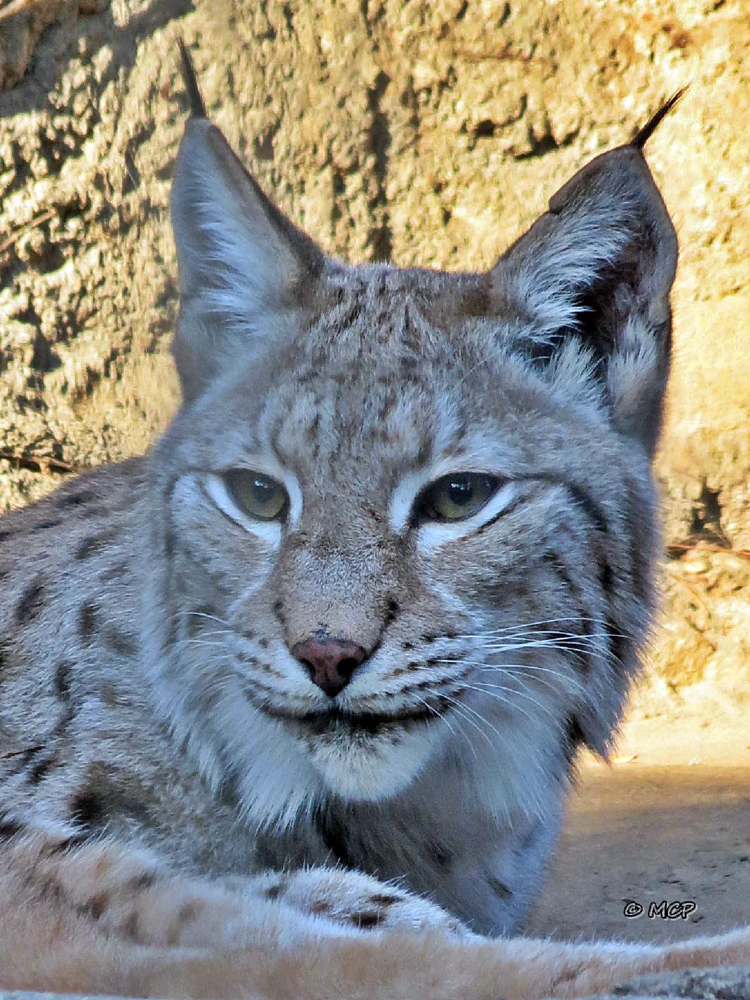 Eurasian Lynx by Catchietales