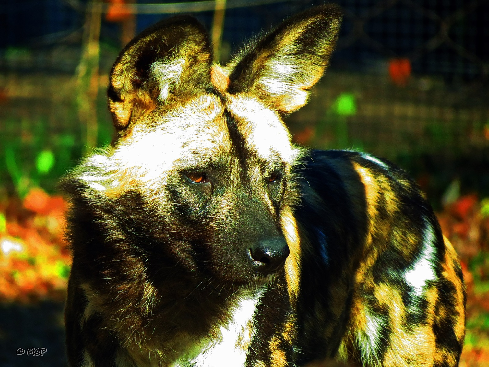African Wild Dog by Catchietales