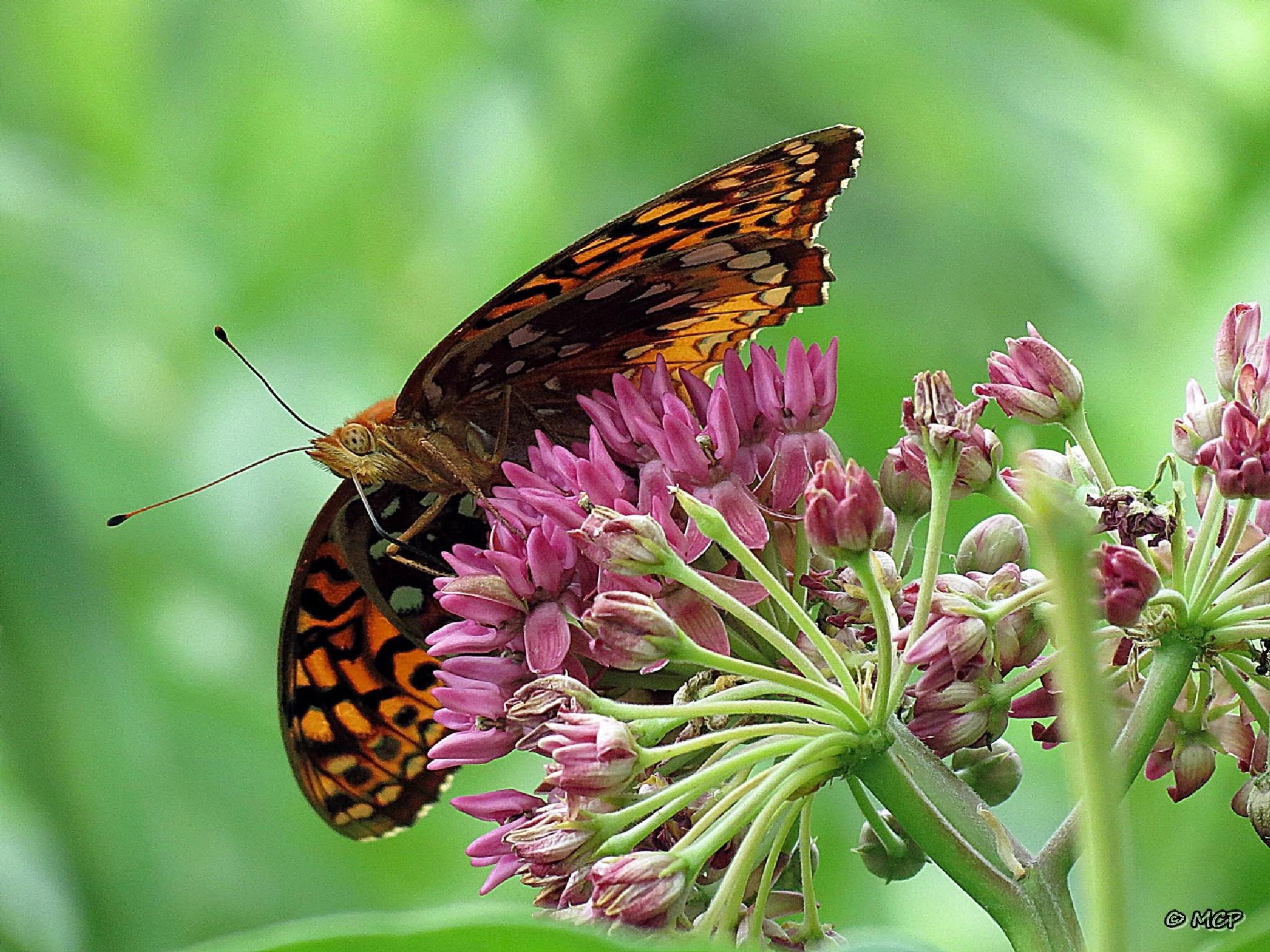 Hydaspe Fritillary  Butterfly  by Catchietales