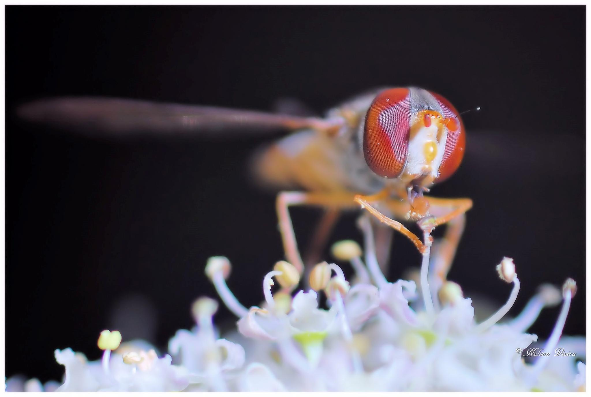 Flower Fly  by Nelson Vieira