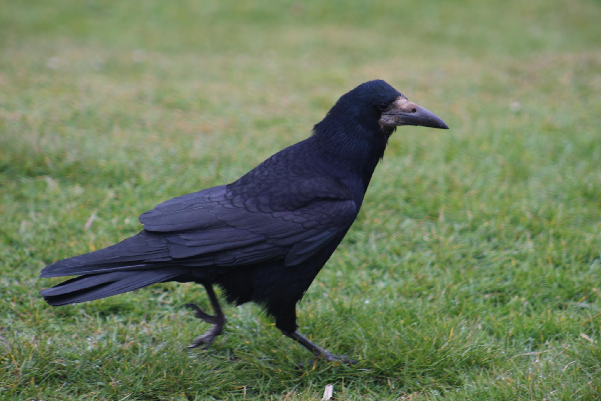 the raven by nigel.acteson.9