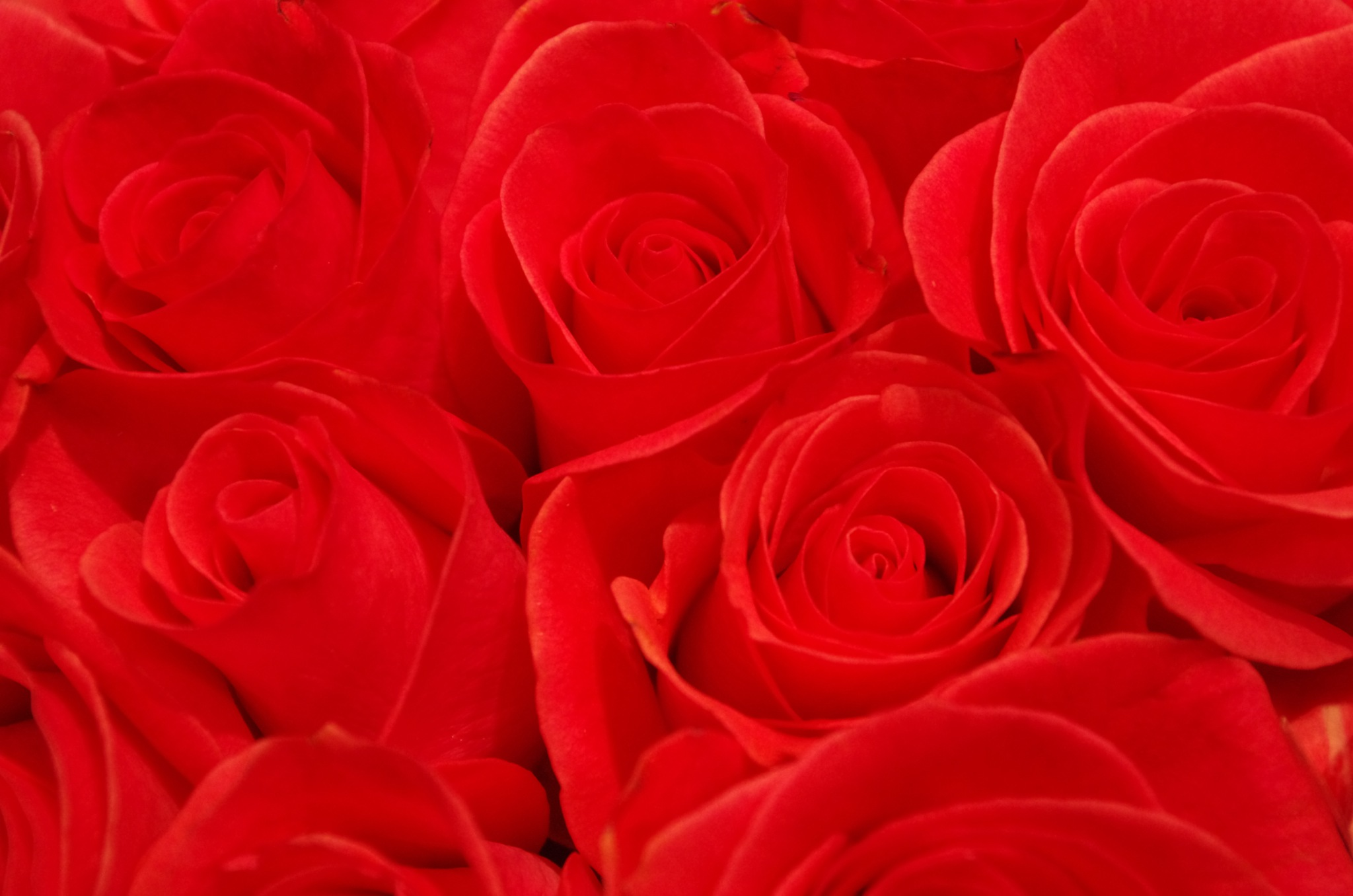 Roses are red by denise.bouvier.3