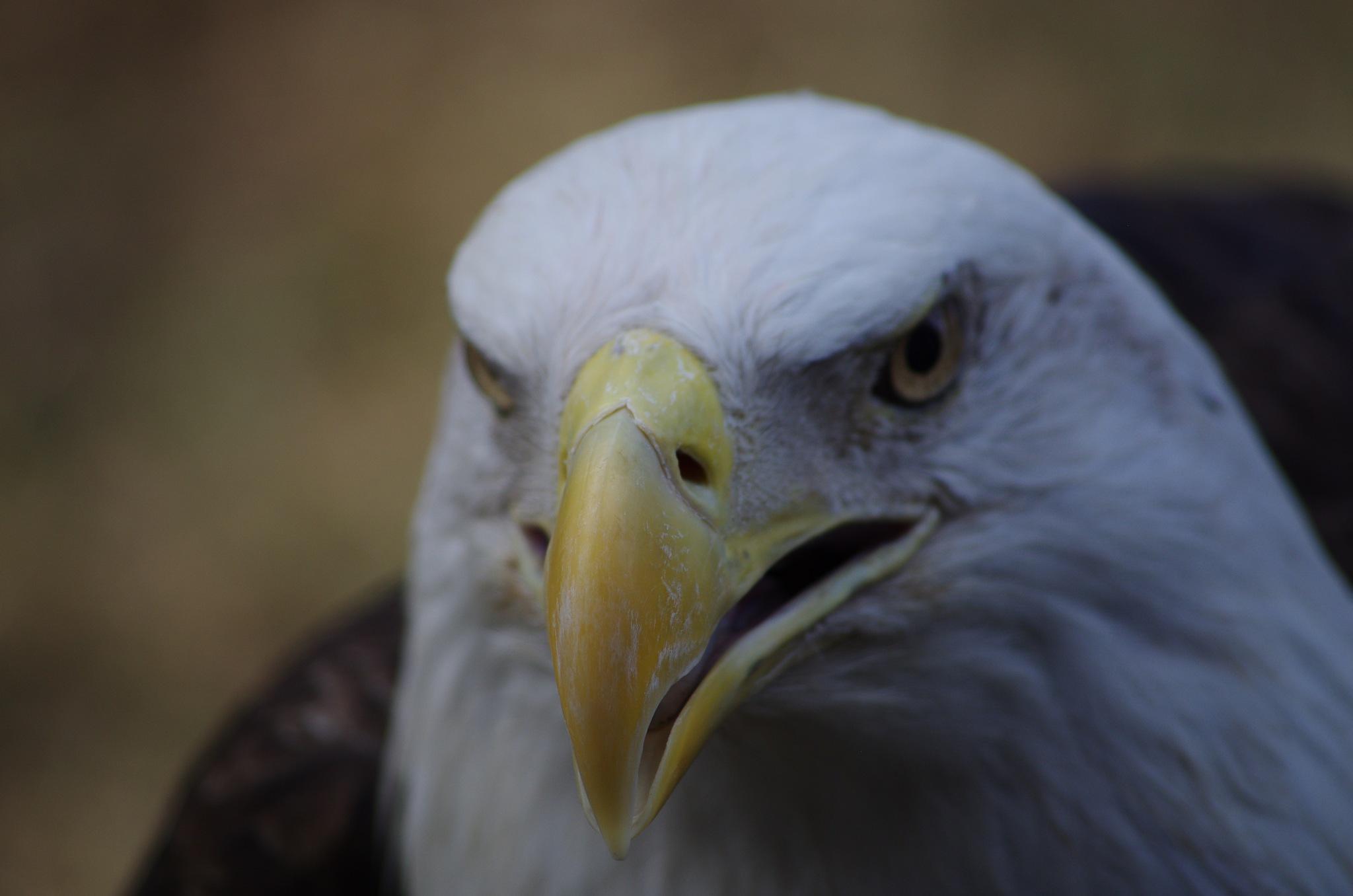 Majestic eagle by denise.bouvier.3