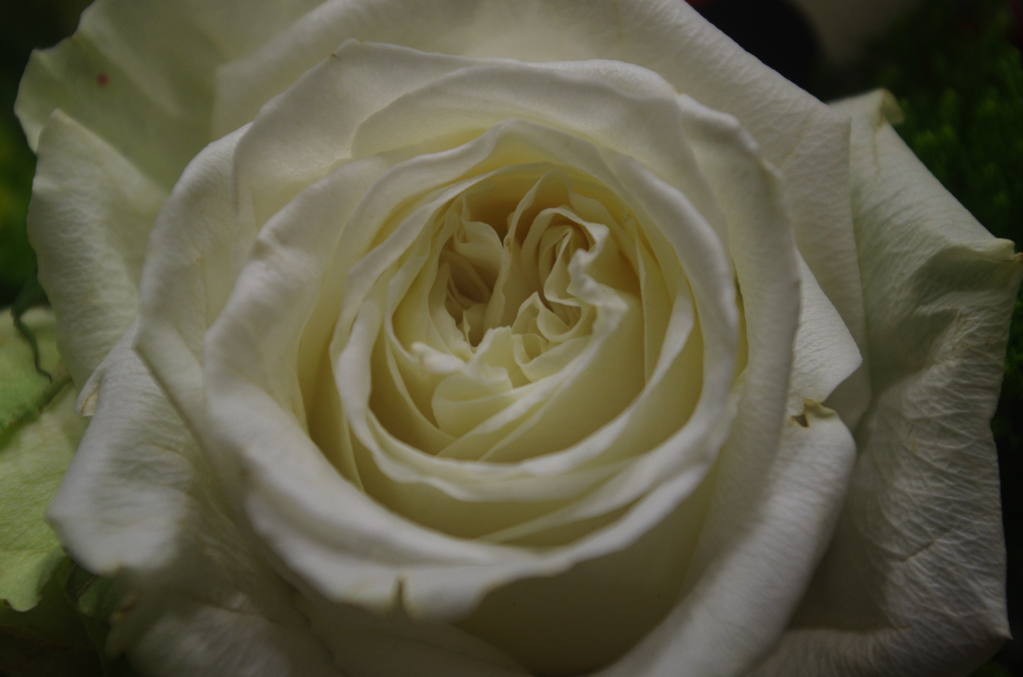 Beautiful rose by denise.bouvier.3