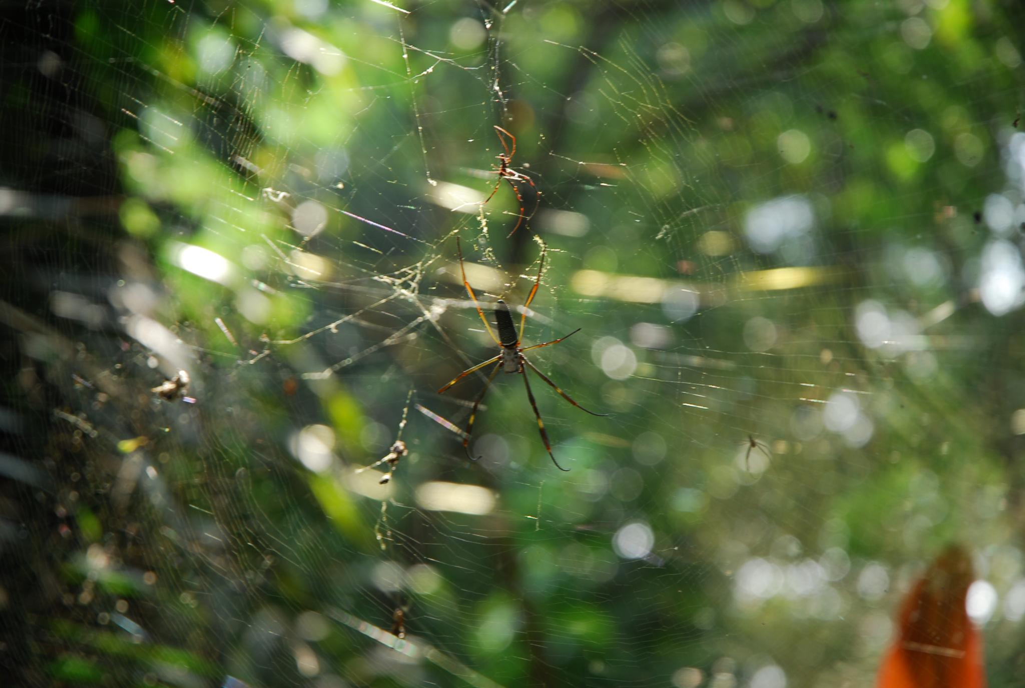 Spider by Eduardo Campanha