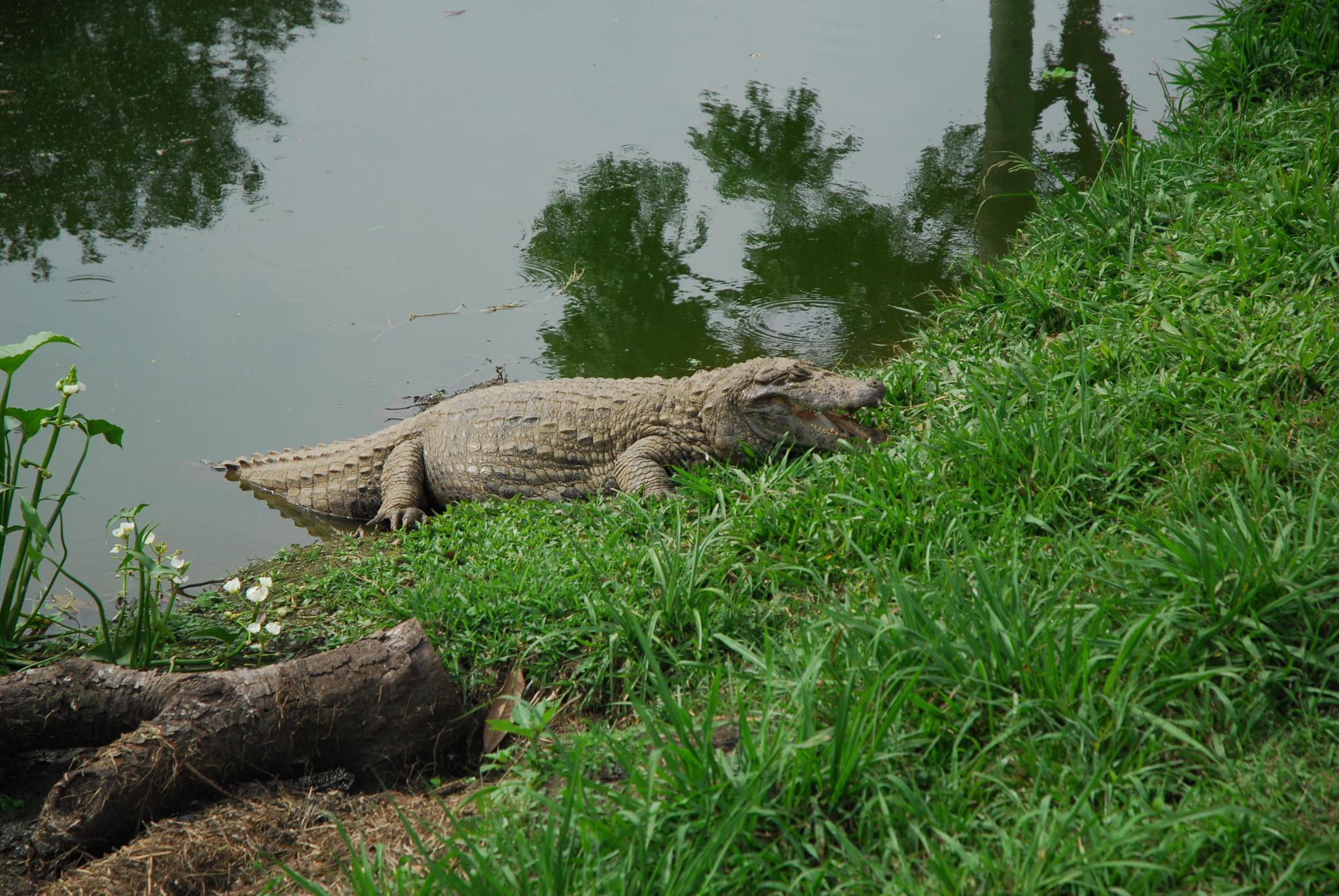 jacare  - alligator by Eduardo Campanha
