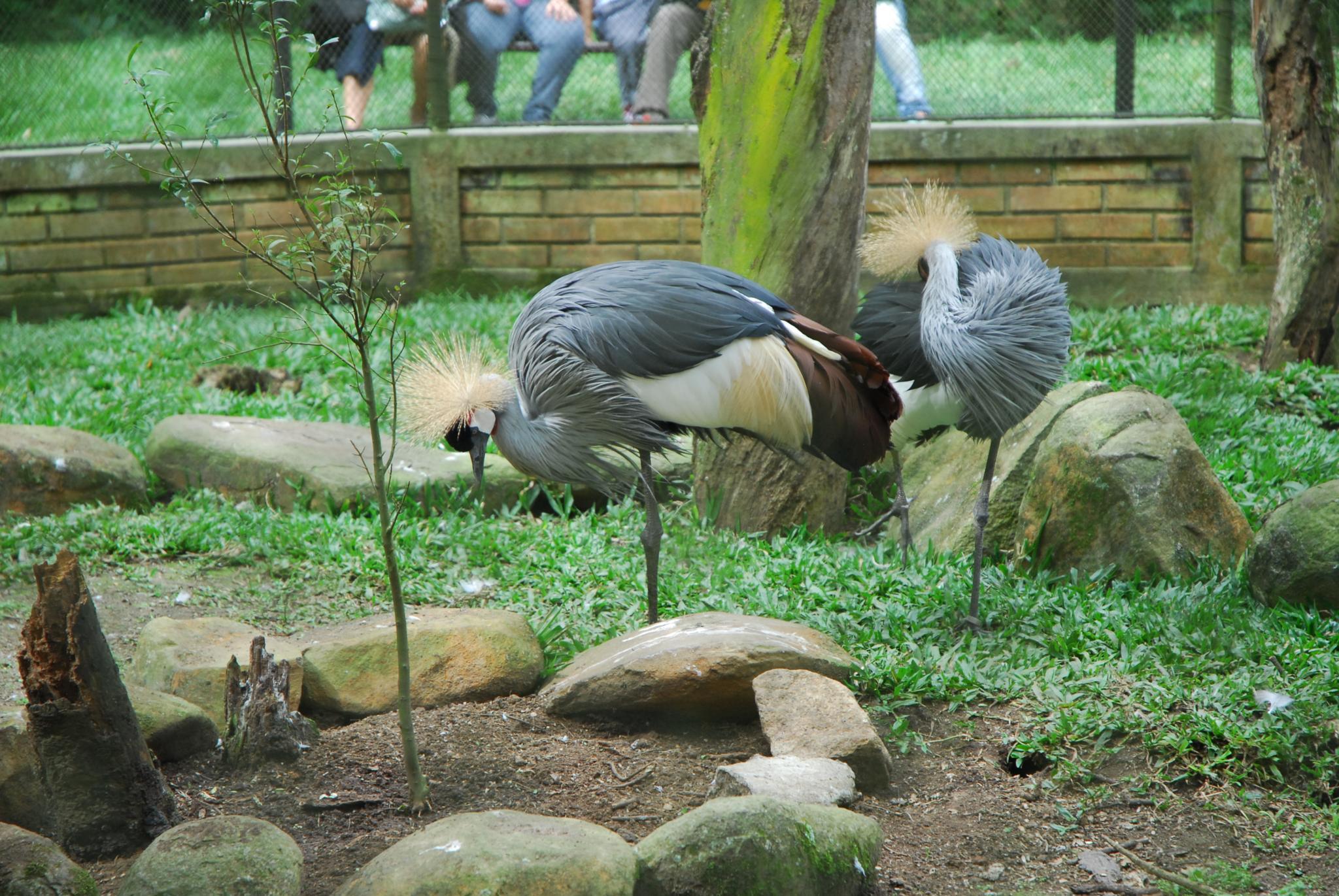 Grey crowned crane by Eduardo Campanha