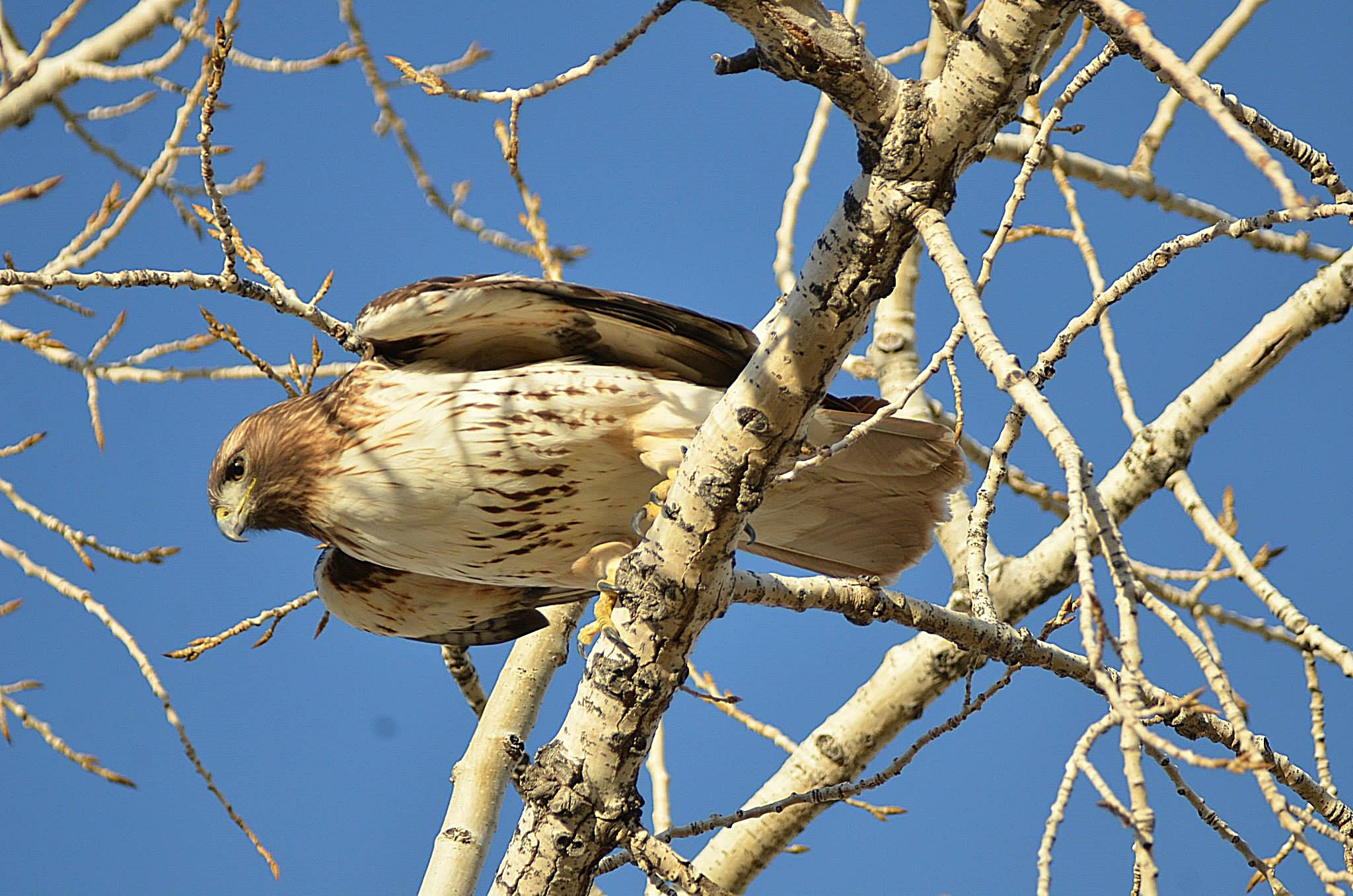 Hawk in Spring by jennifer.mcdaniels1
