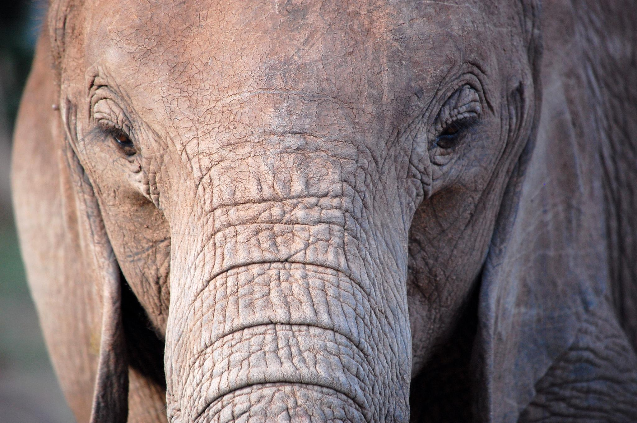 Elefant closeup by Rainer Buerkle