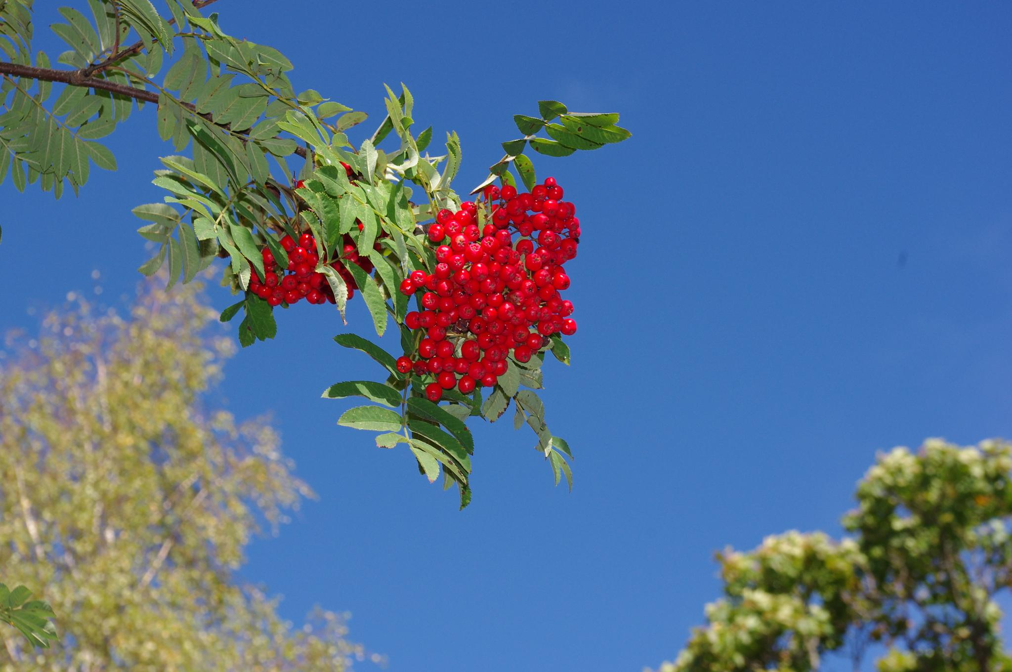 Rowanberries in the sun by eva.e.mabrouk