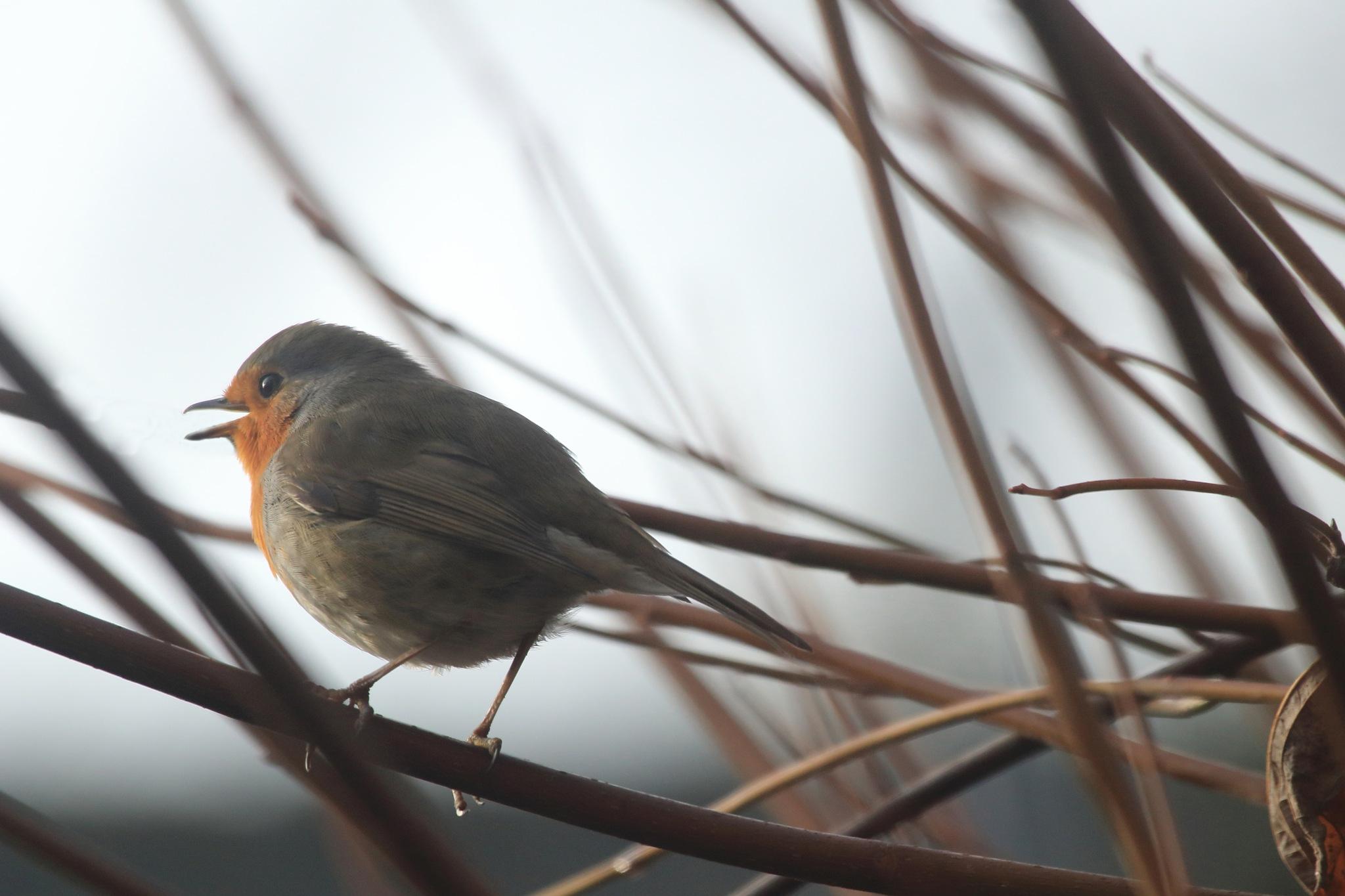 Robin by fons.jonkers