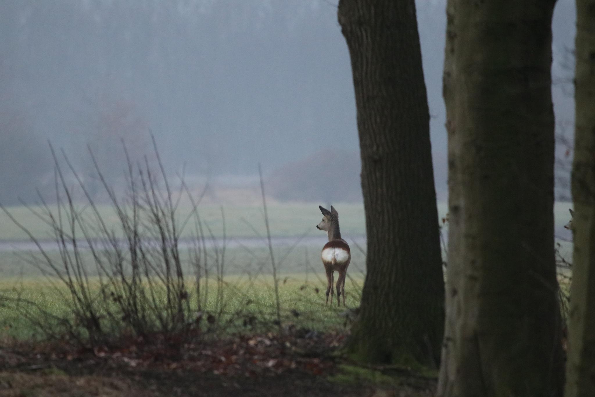 Misty morning deer by fons.jonkers