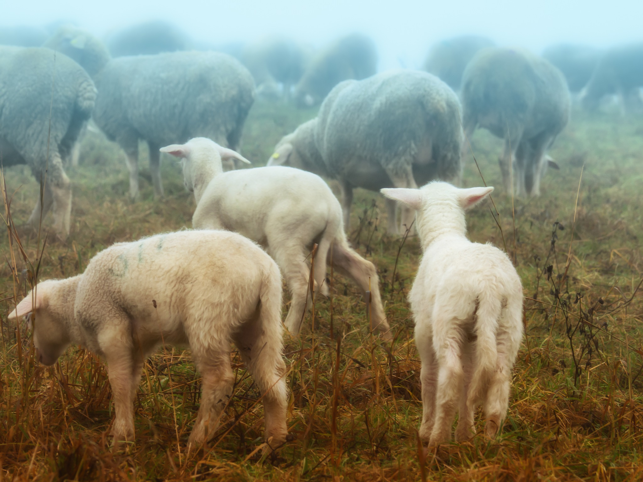 Sheeps in the fog by pixer