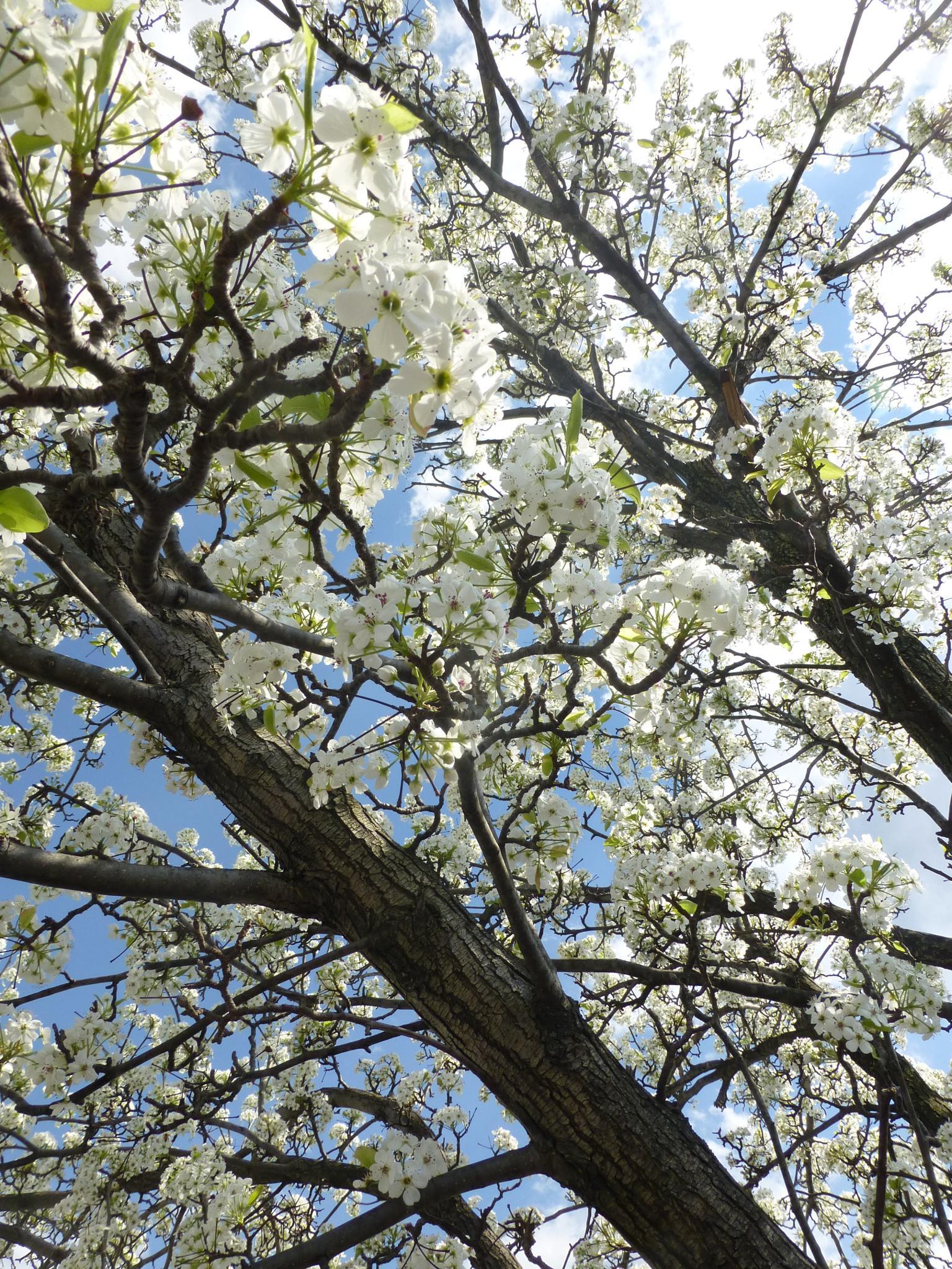 Pear Tree Blossoms by Terri Scache Harris