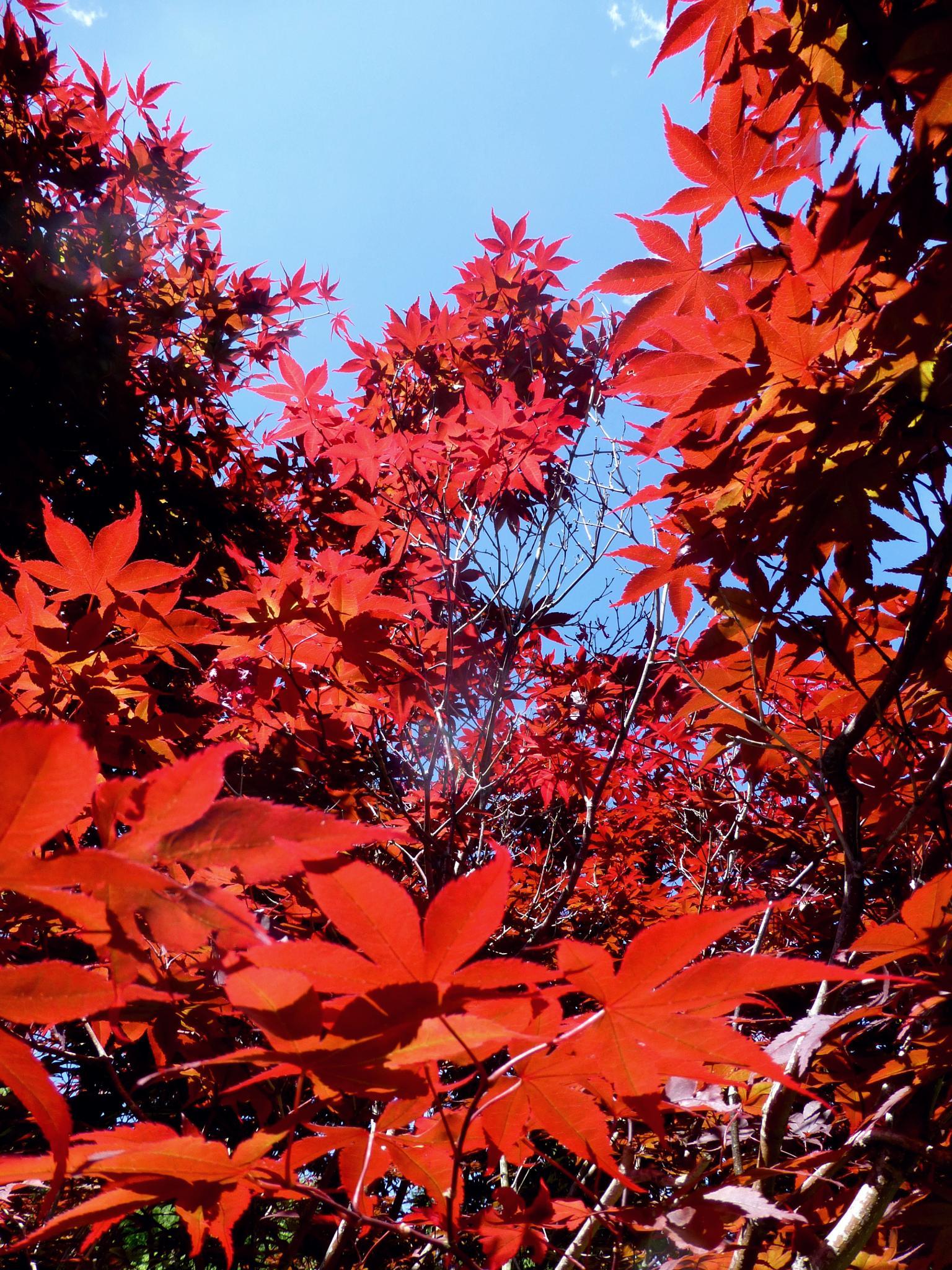 Japanese Maple by Terri Scache Harris