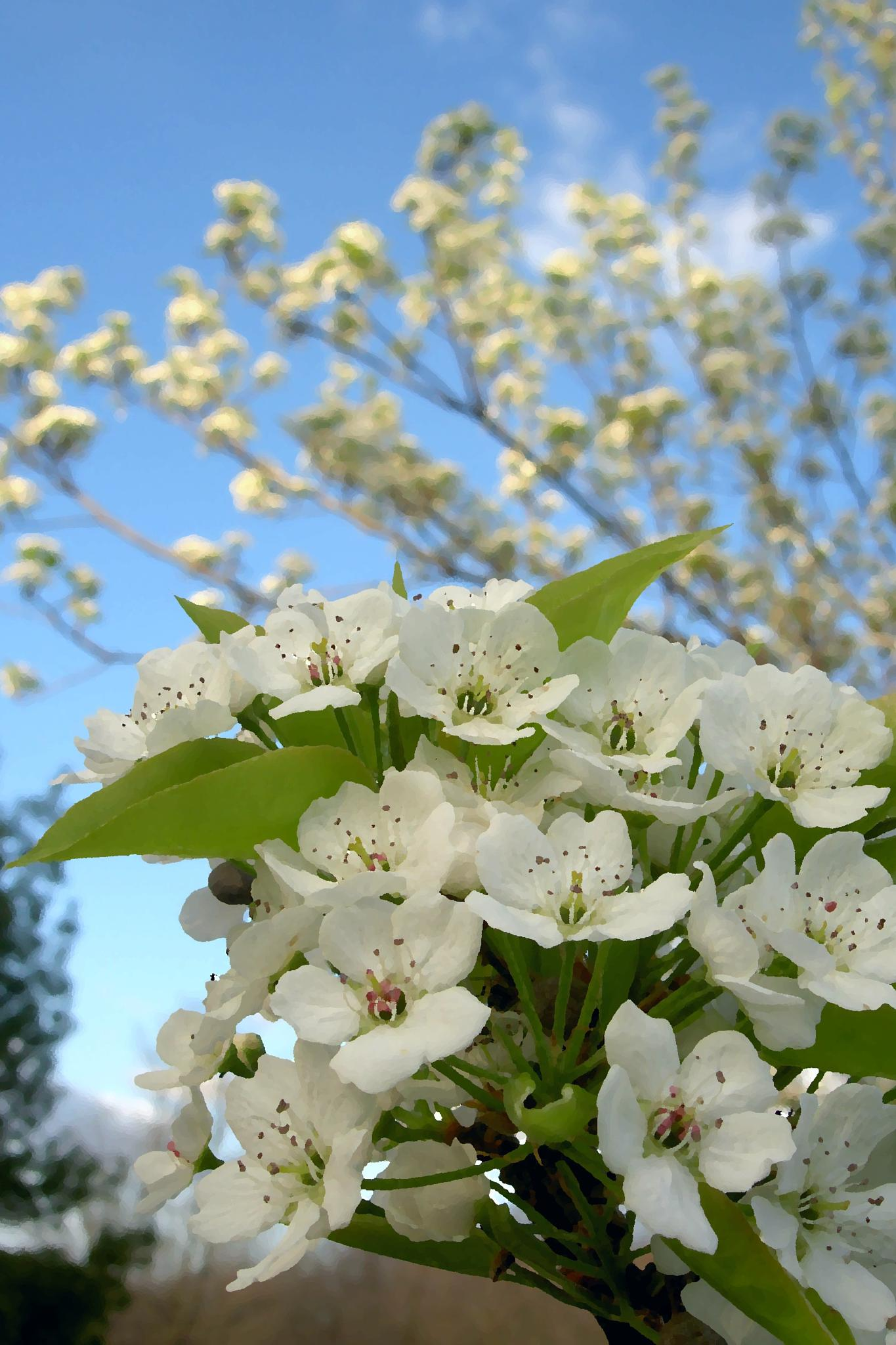 Photo in Nature #pear tree #pear tree blossoms #flowers