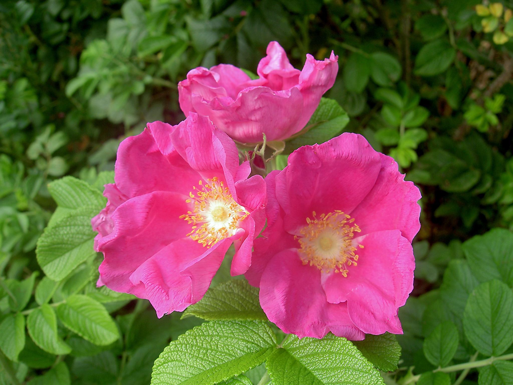 Wild Roses by Terri Scache Harris