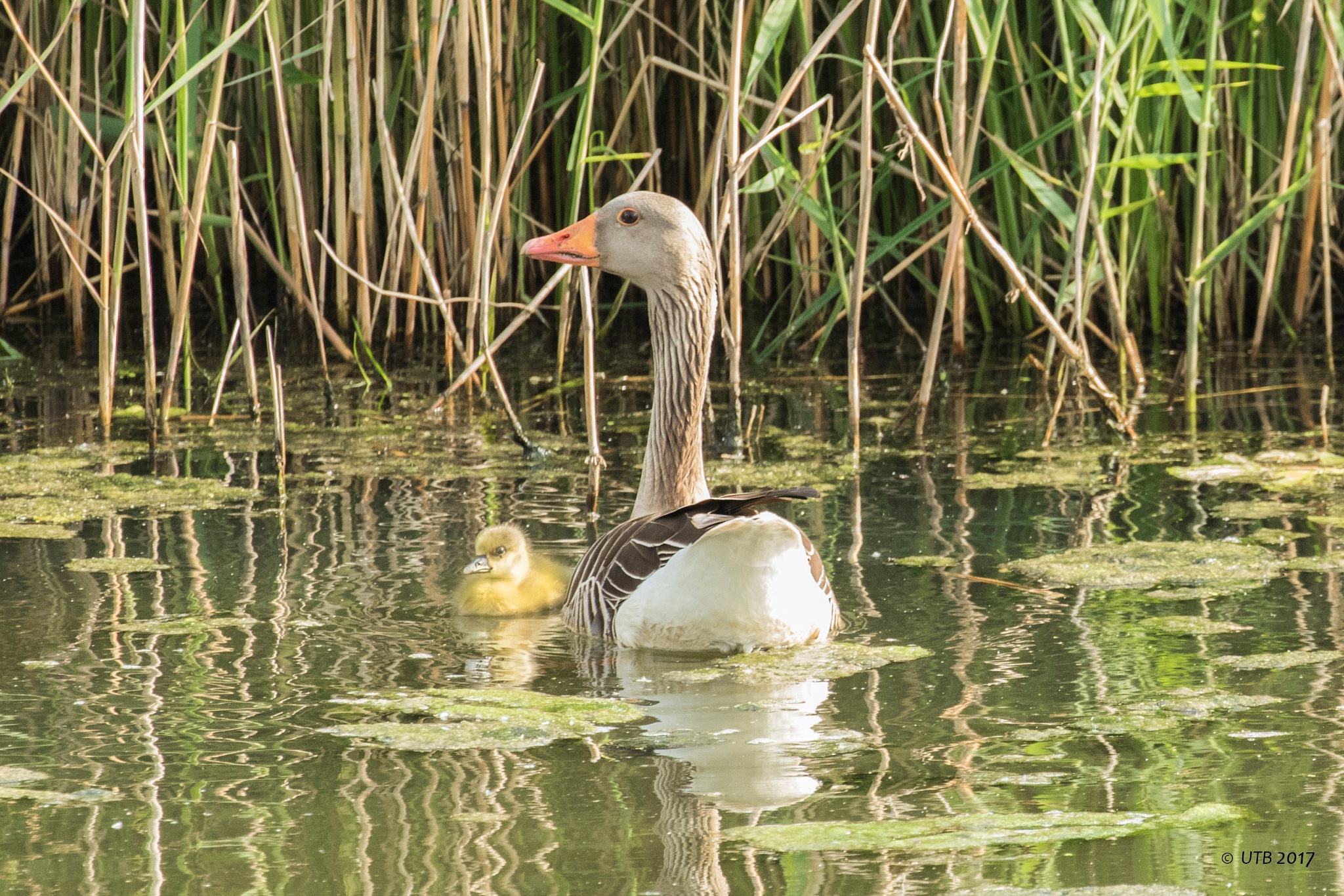 Goose and her young by utb