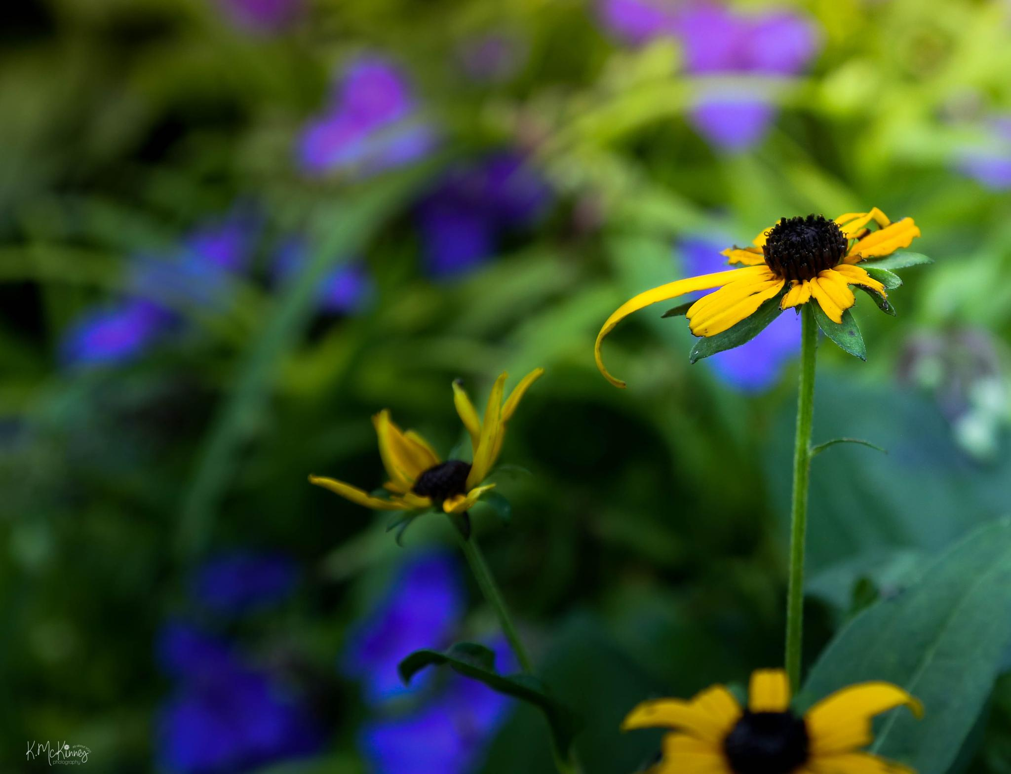 Black-Eyed Susan by Karlasue