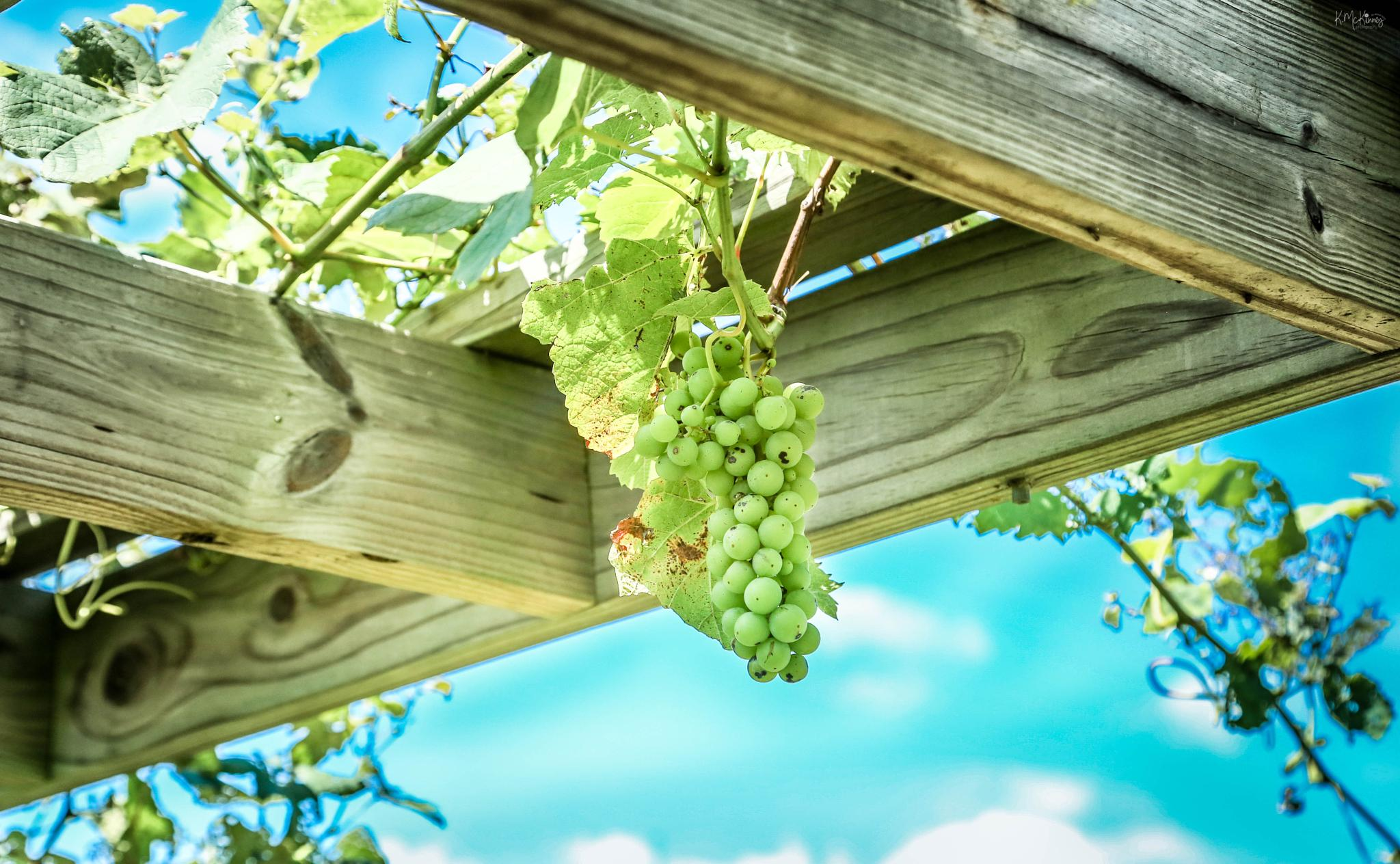 Grapes on the Vine by Karlasue