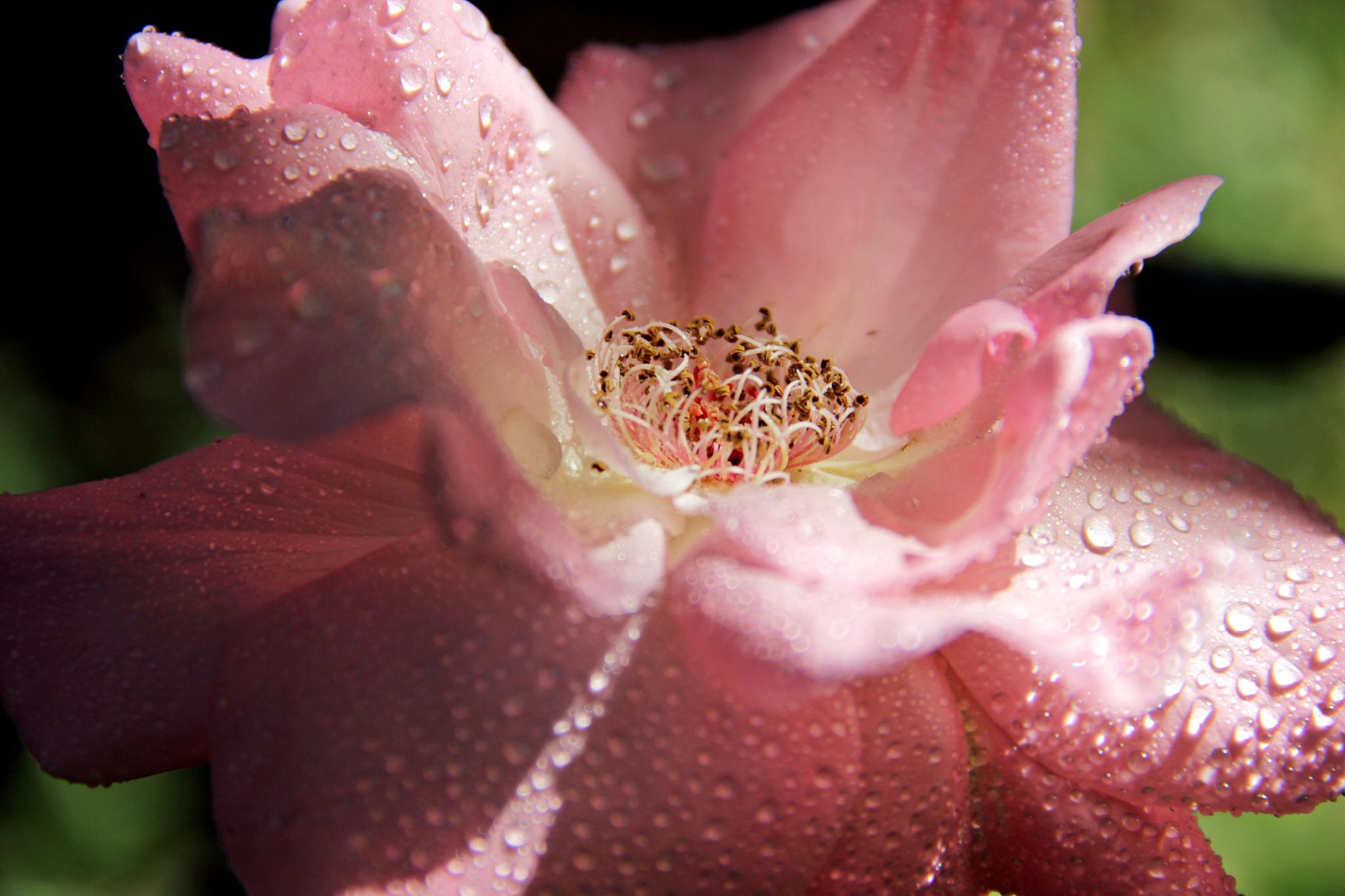 rose by Sorin Panait