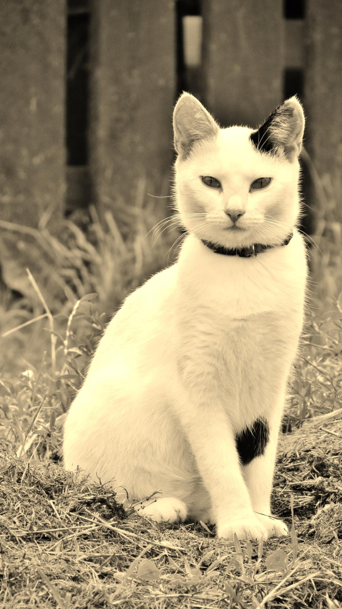 Black and White Cat by Jonathan Merritt