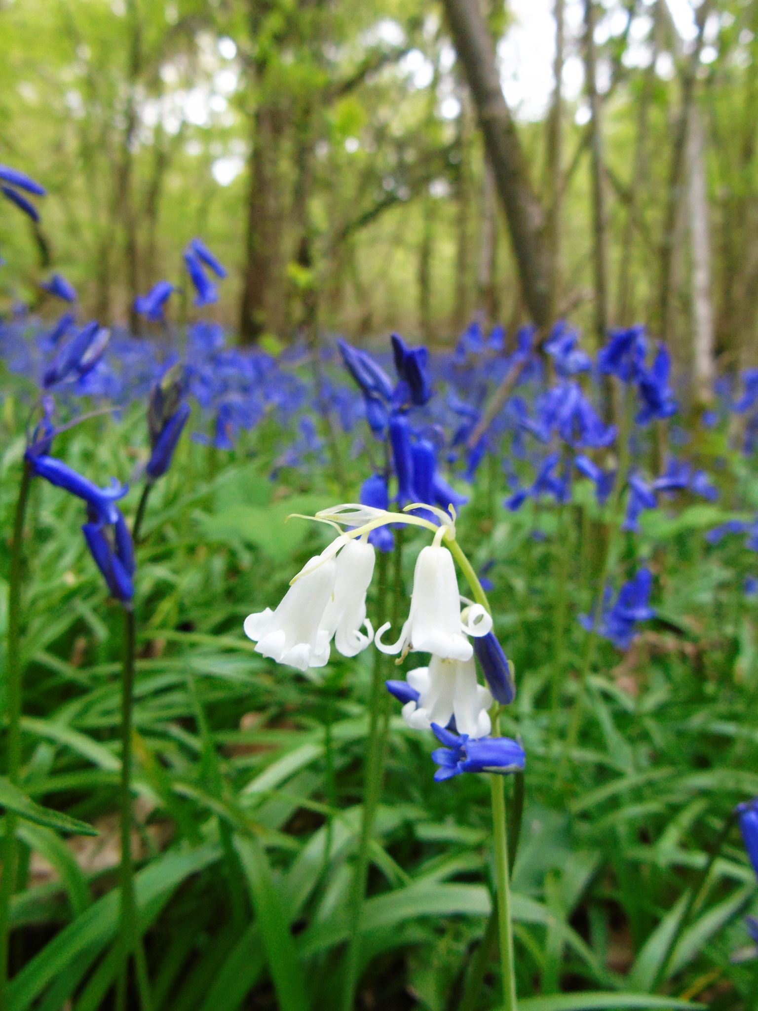Bluebell Wood by Jonathan Merritt
