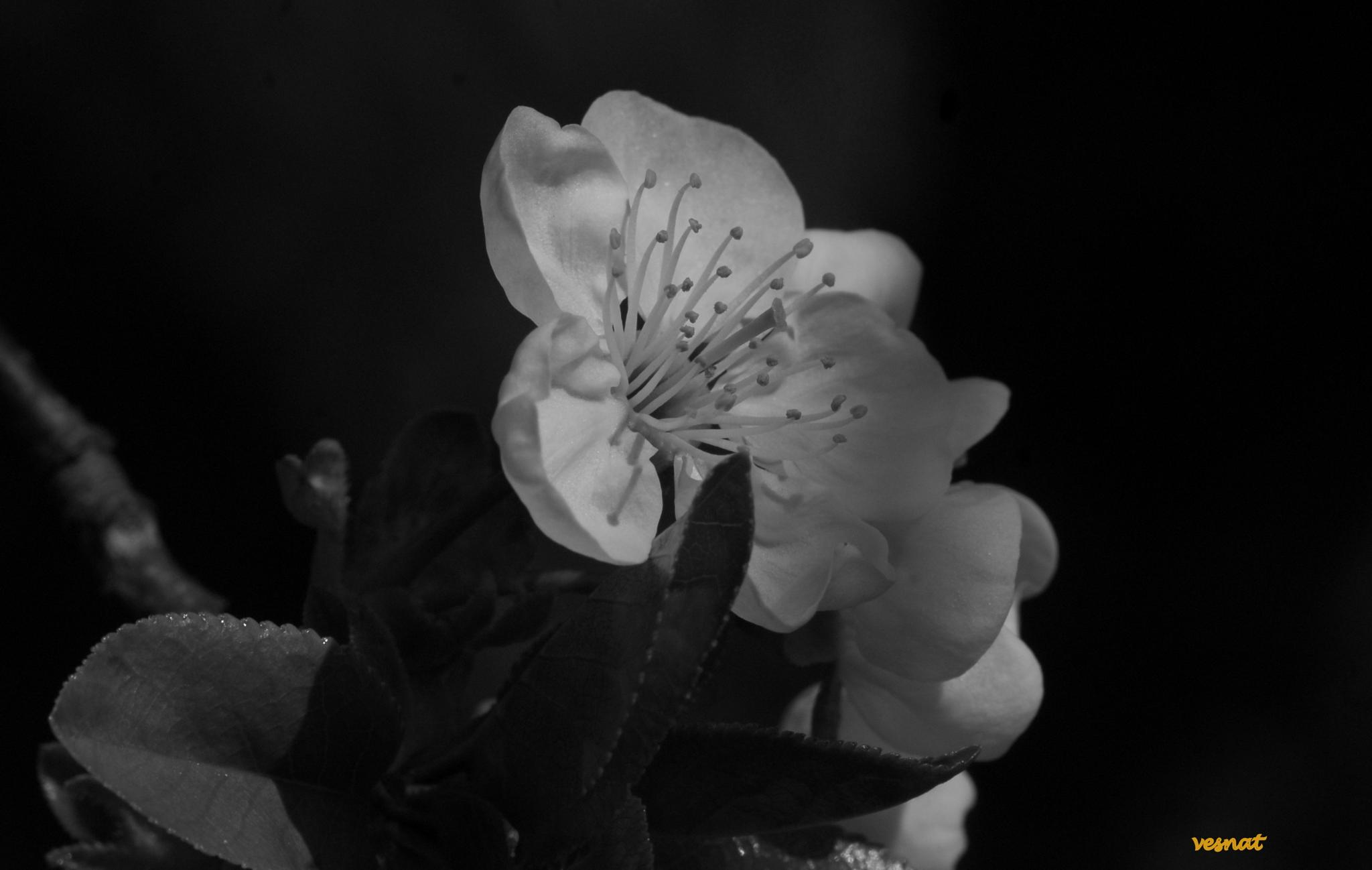 black and white from my orchard by vesna.tafra