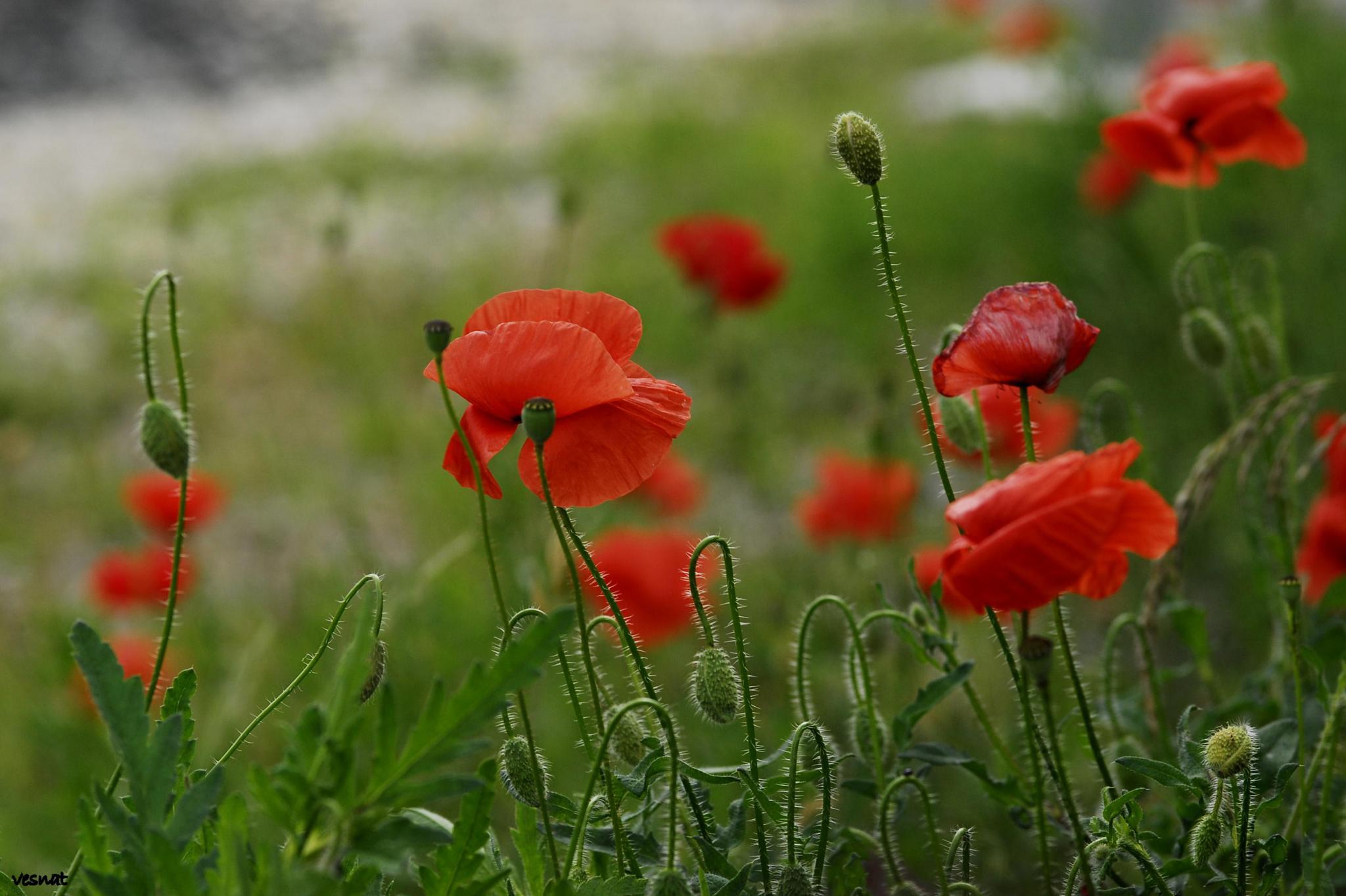 red poppies by vesna.tafra