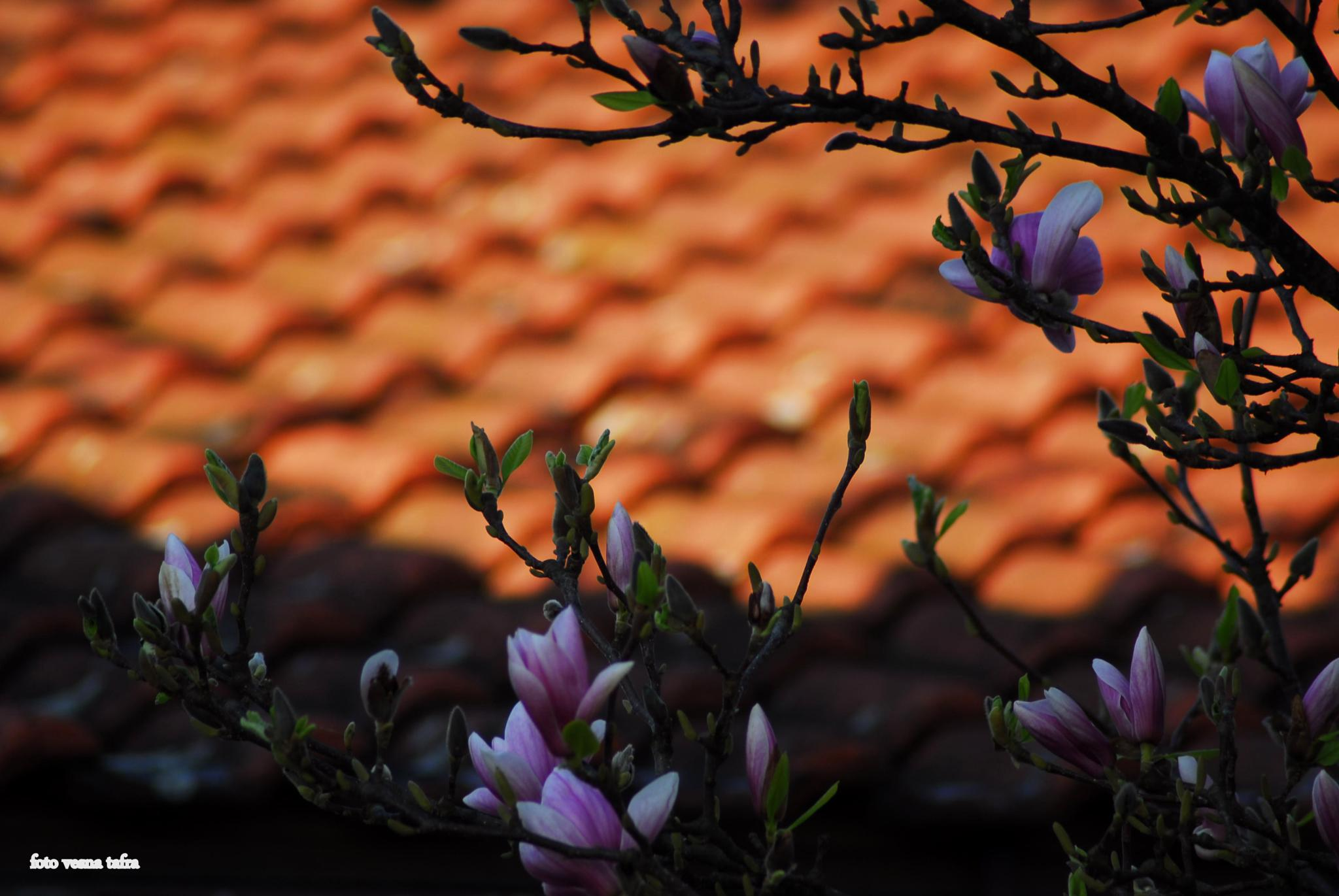 roof and magnolia by vesna.tafra