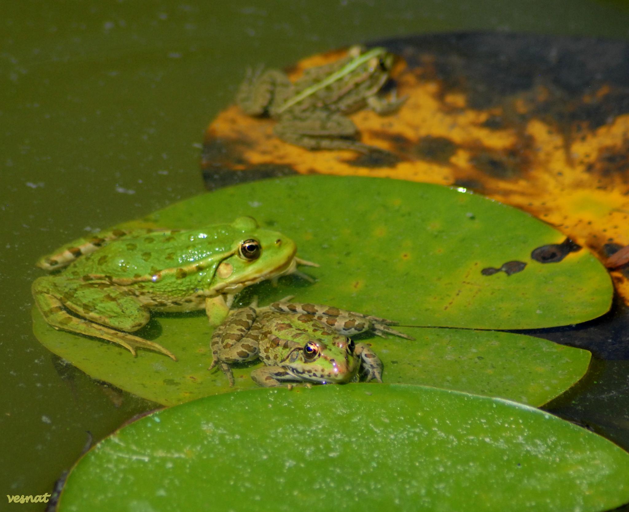 frogs by vesna.tafra