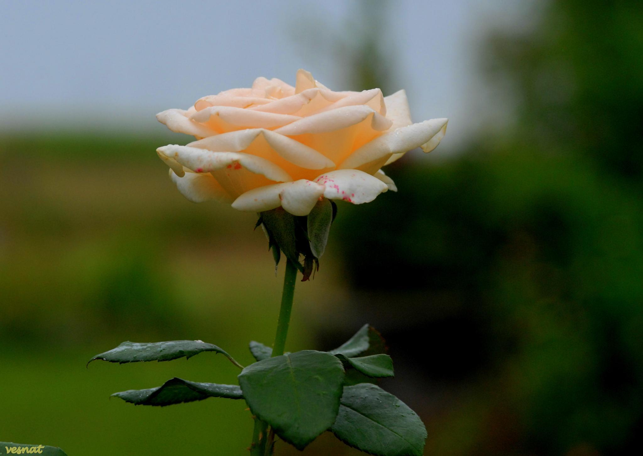 rose queen by vesna.tafra