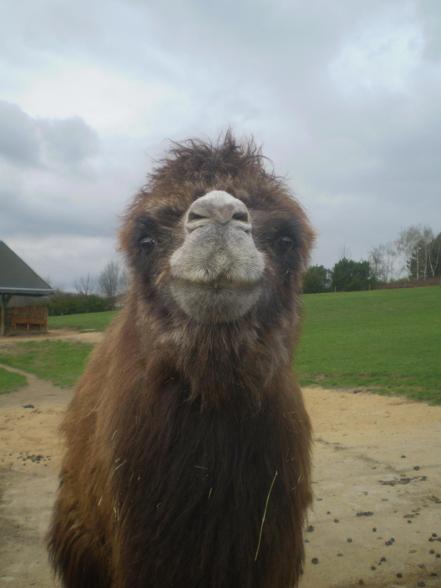 Camel is smiling by Jan Bedřich