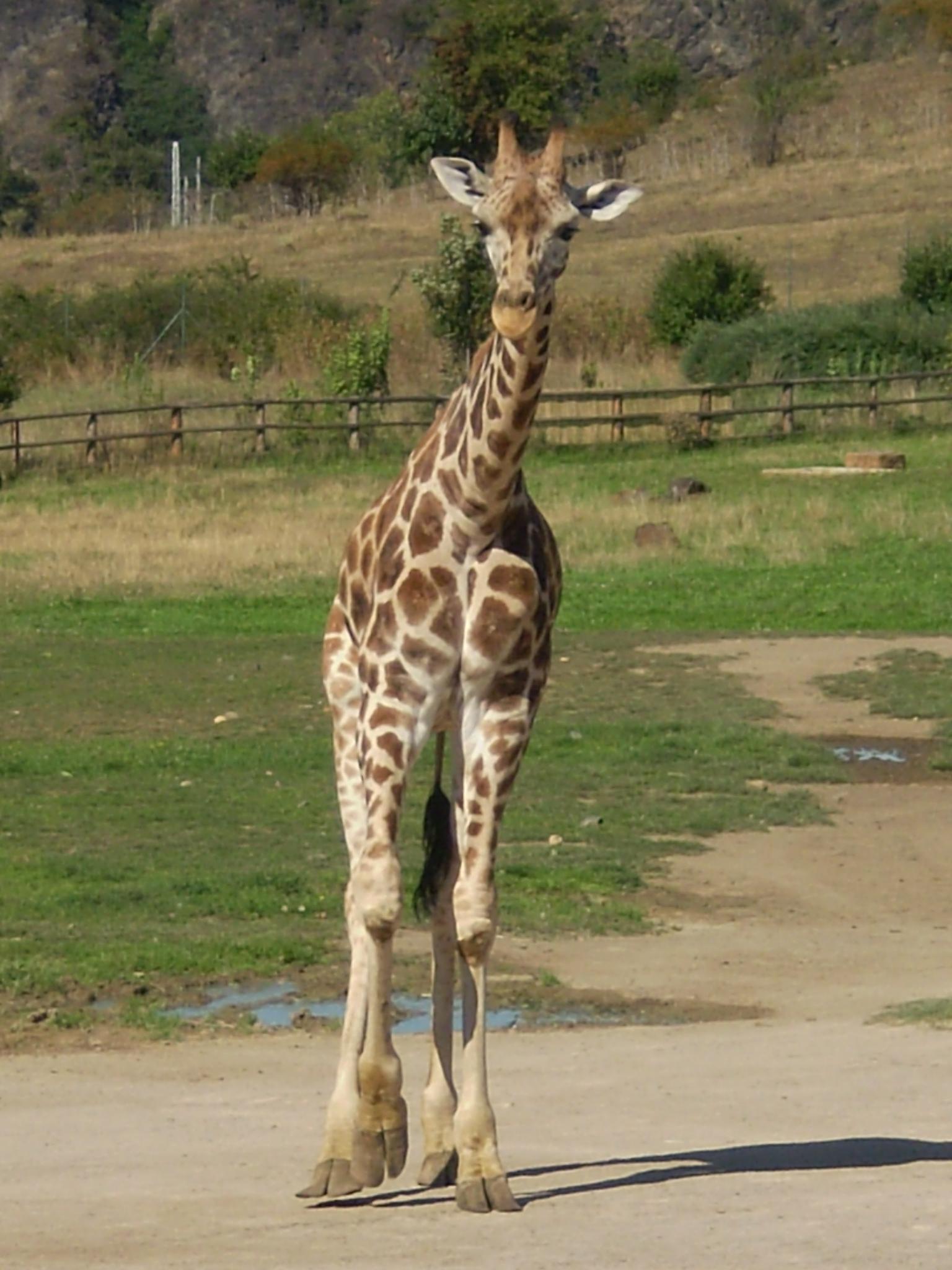 Giraffe are walking by Jan Bedřich