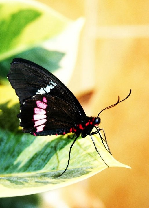 Butterfly  by Chris Hoffman Photography