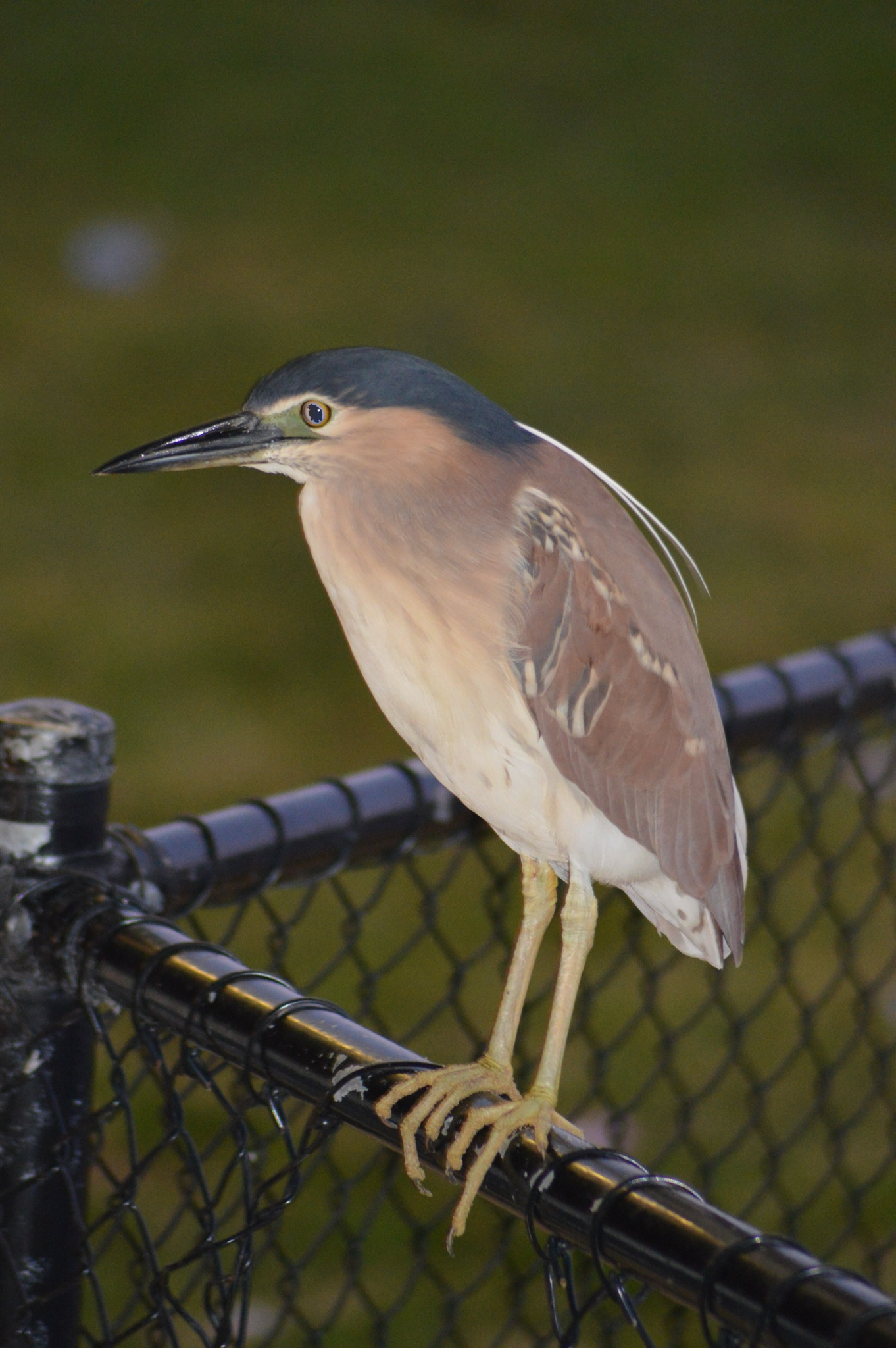 Night Heron. by mark.eatwell.3