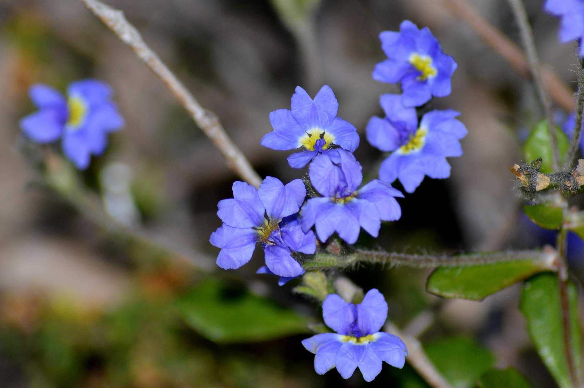 Aussie Wild Flower #22 by mark.eatwell.3
