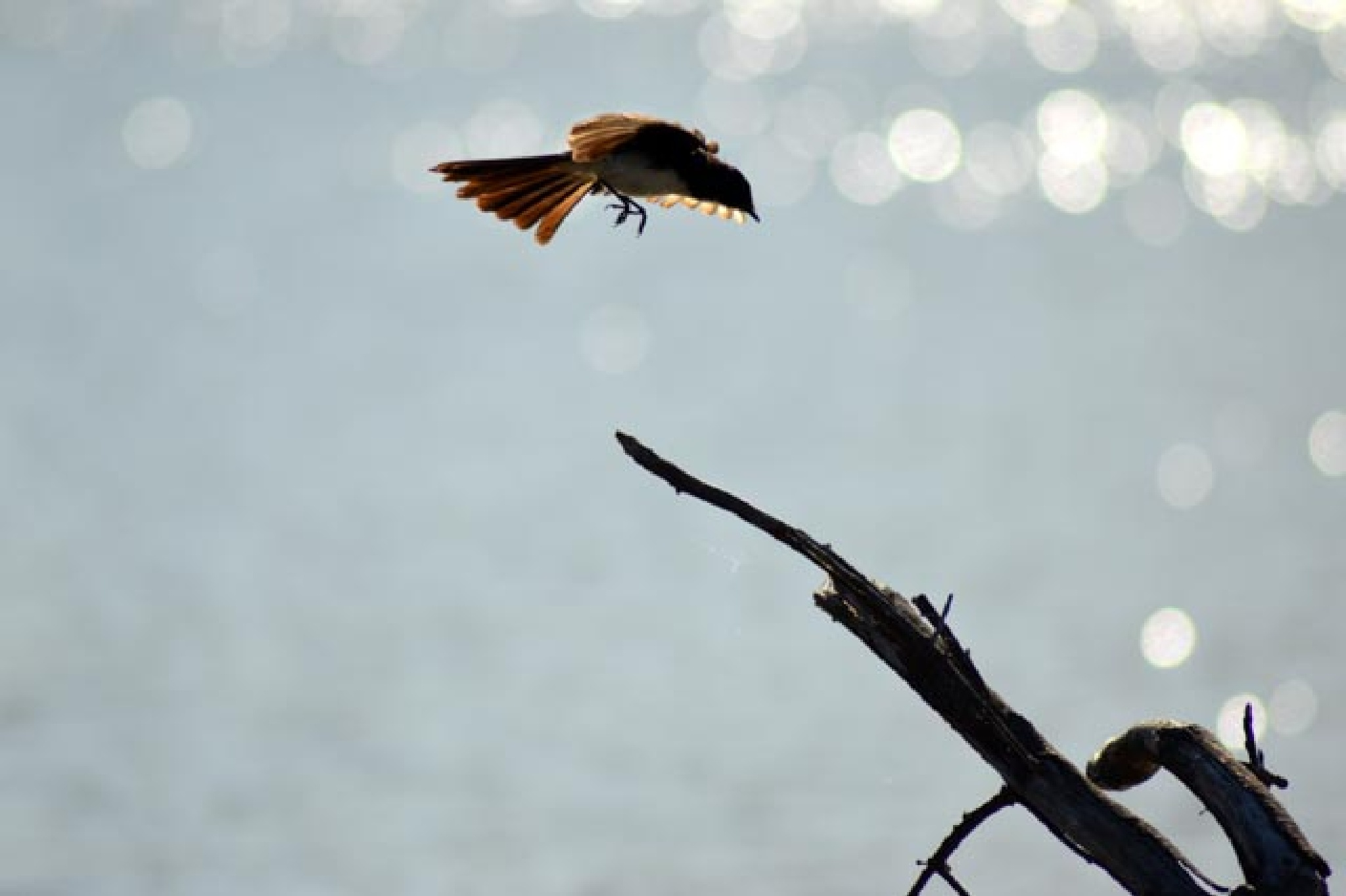 Flight of the willie wag tail. by mark.eatwell.3