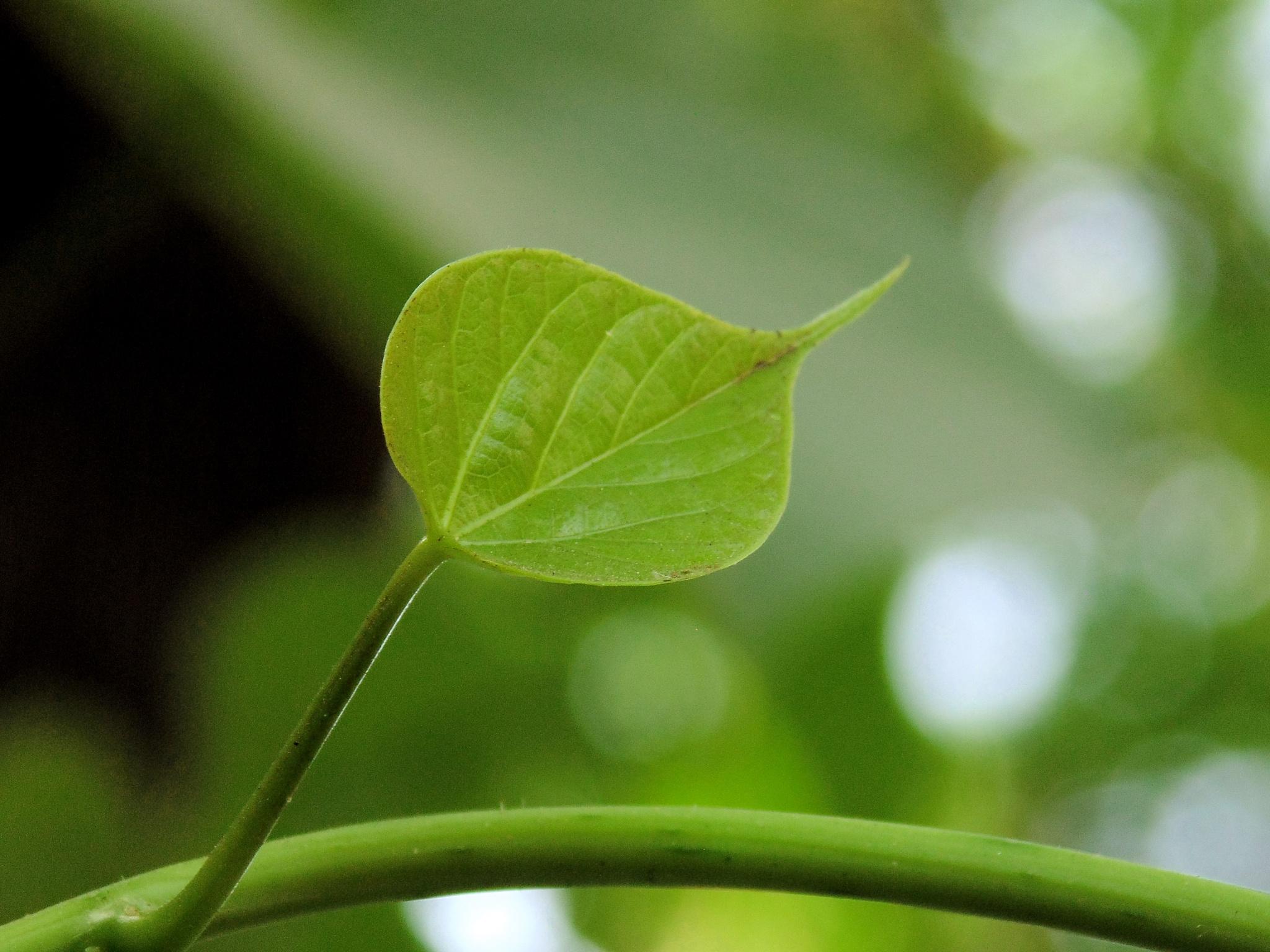 A Green Leaf by Ashik Iqbal