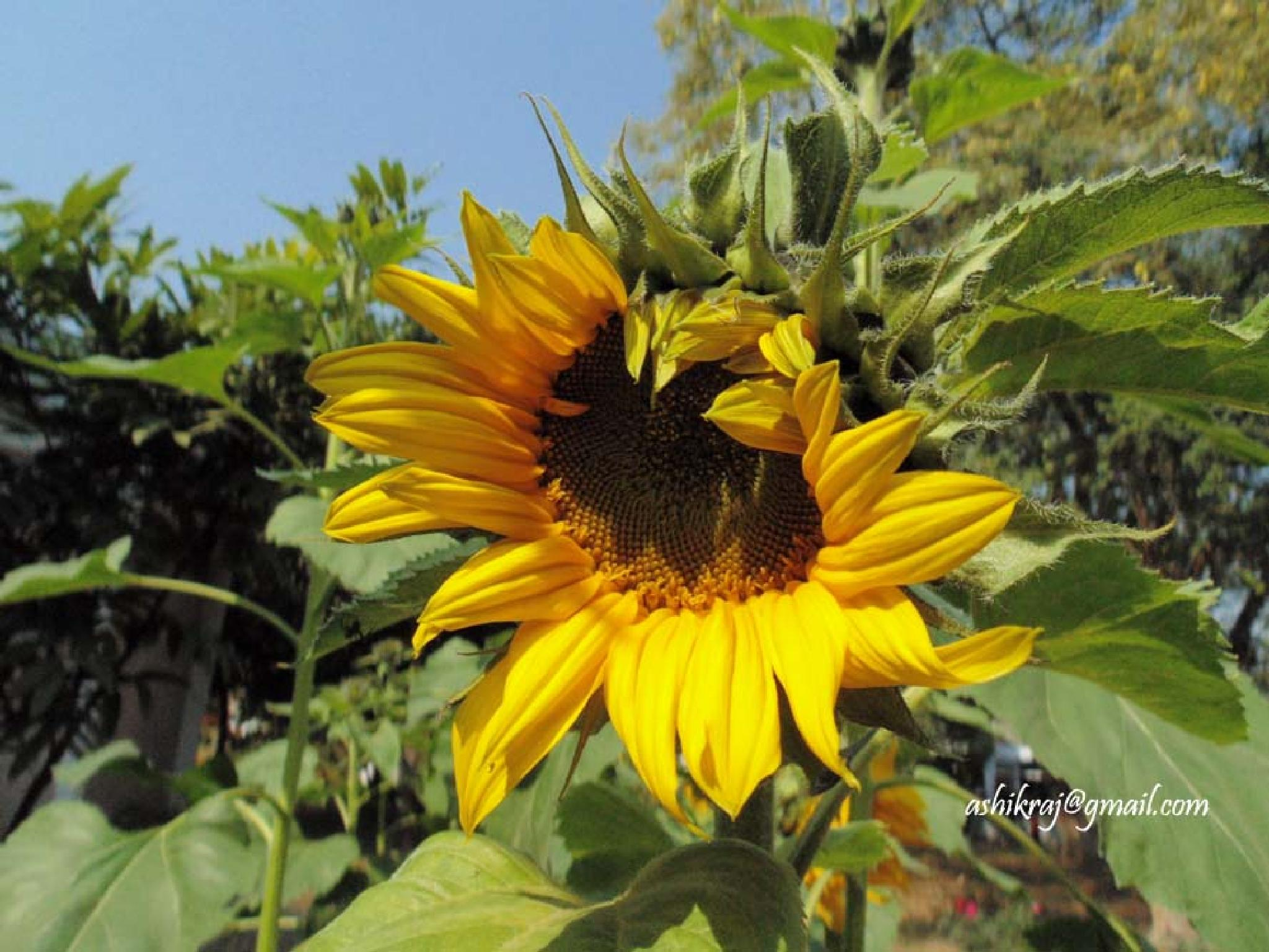 Sunflower by Ashik Iqbal