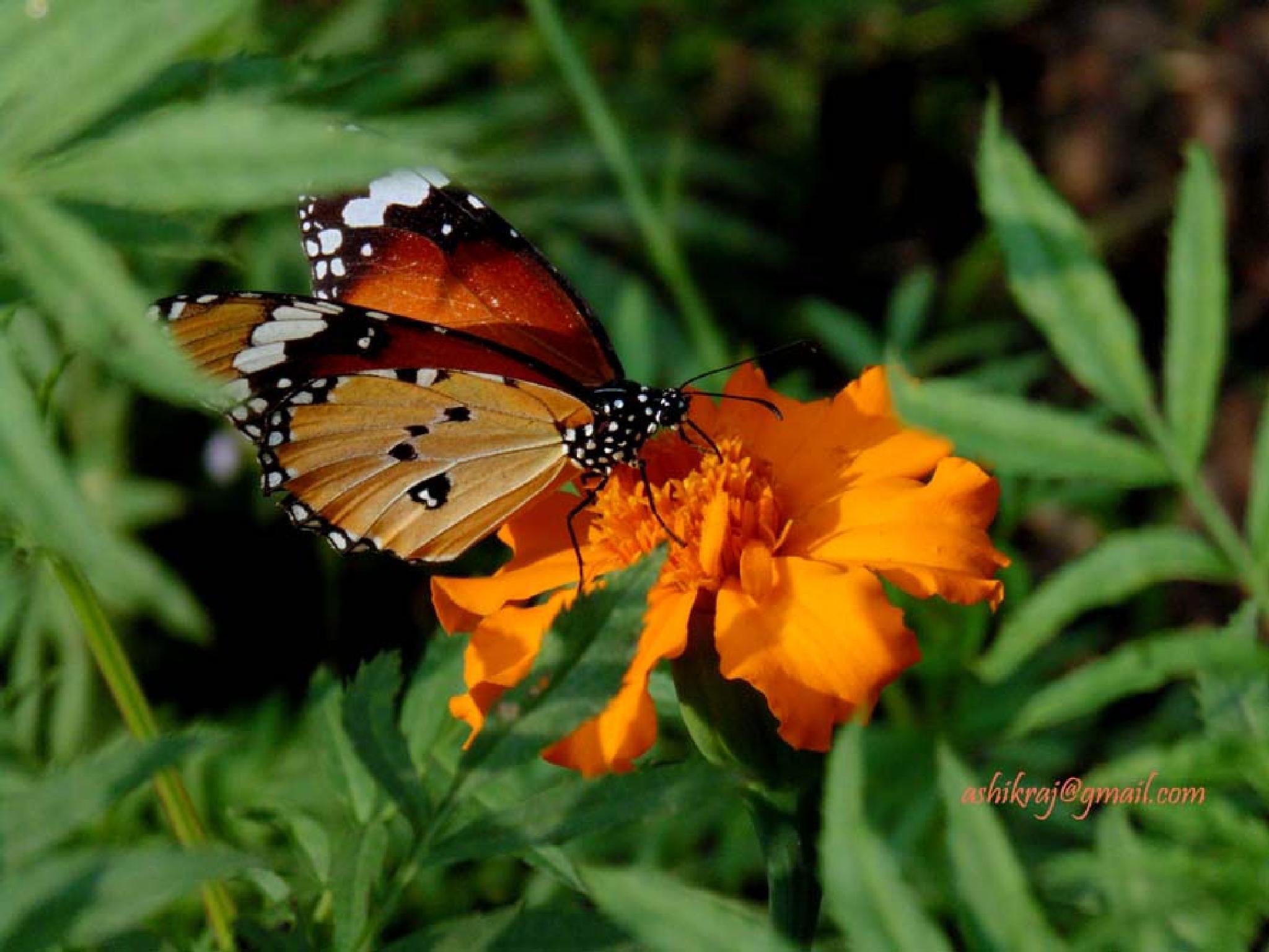 ButterFlower- প্রজাপতি ও একটি ফুল by Ashik Iqbal