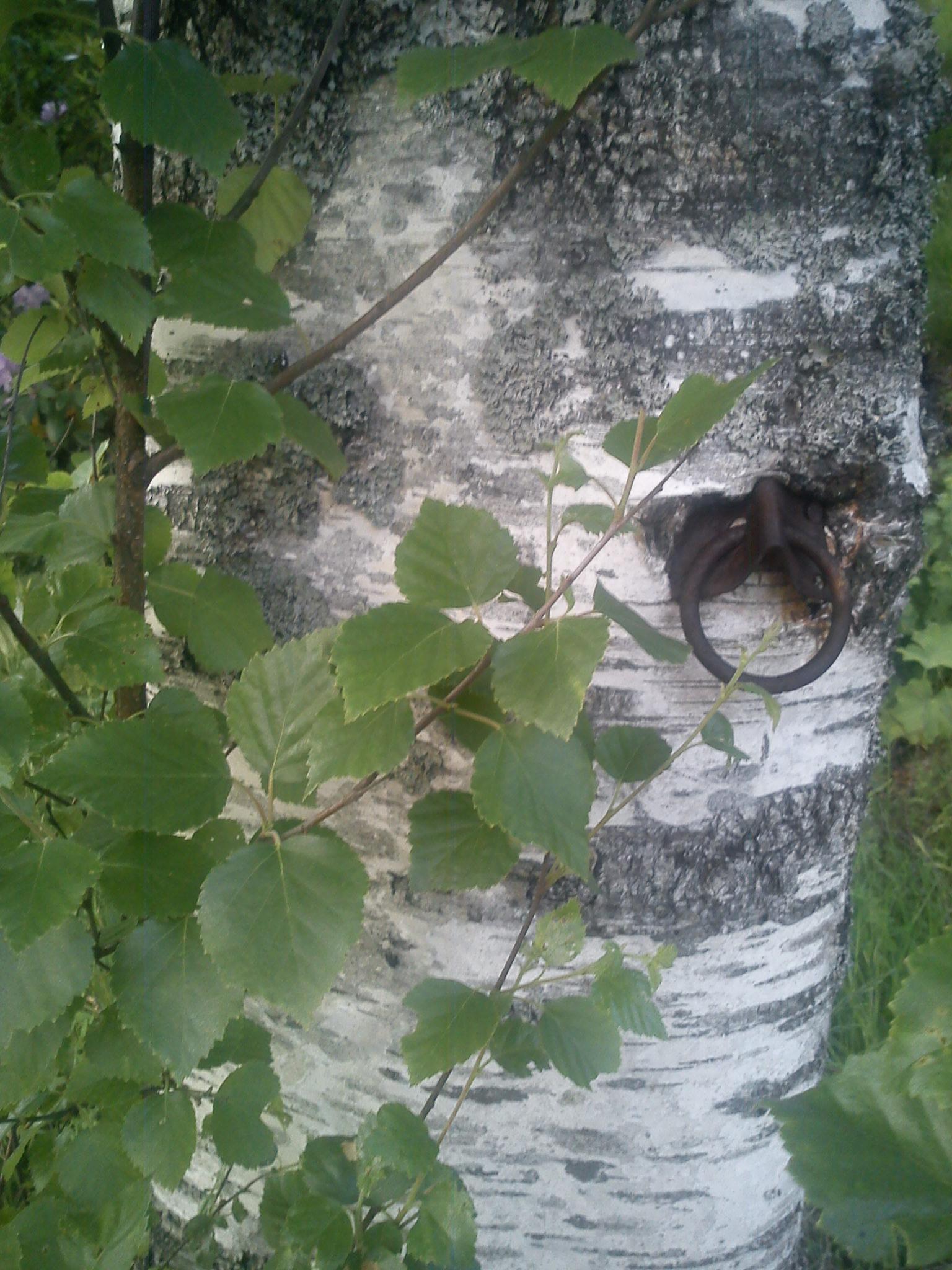 Birch by annemarie.augustsson