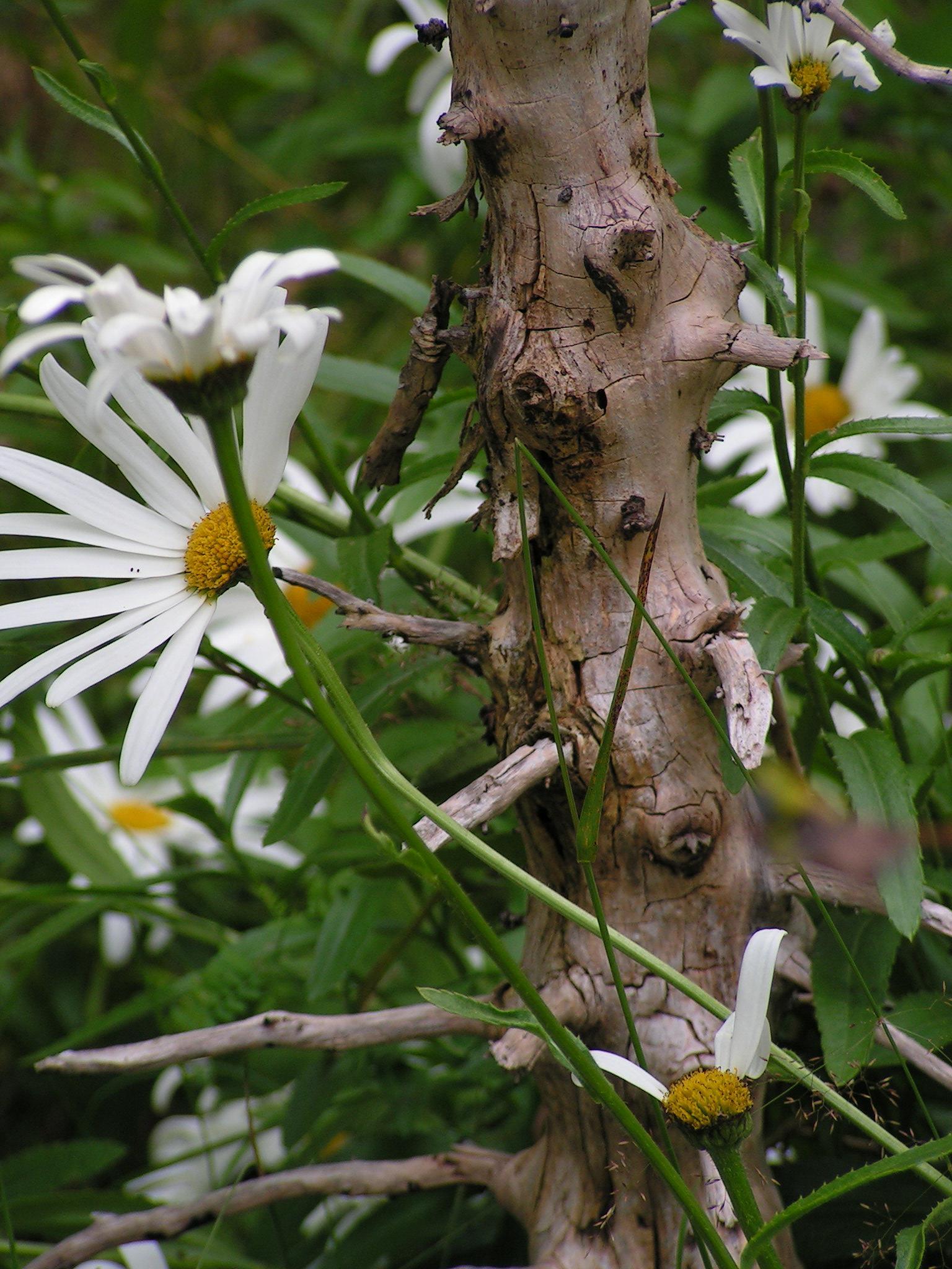 daisy/marguerite by annemarie.augustsson