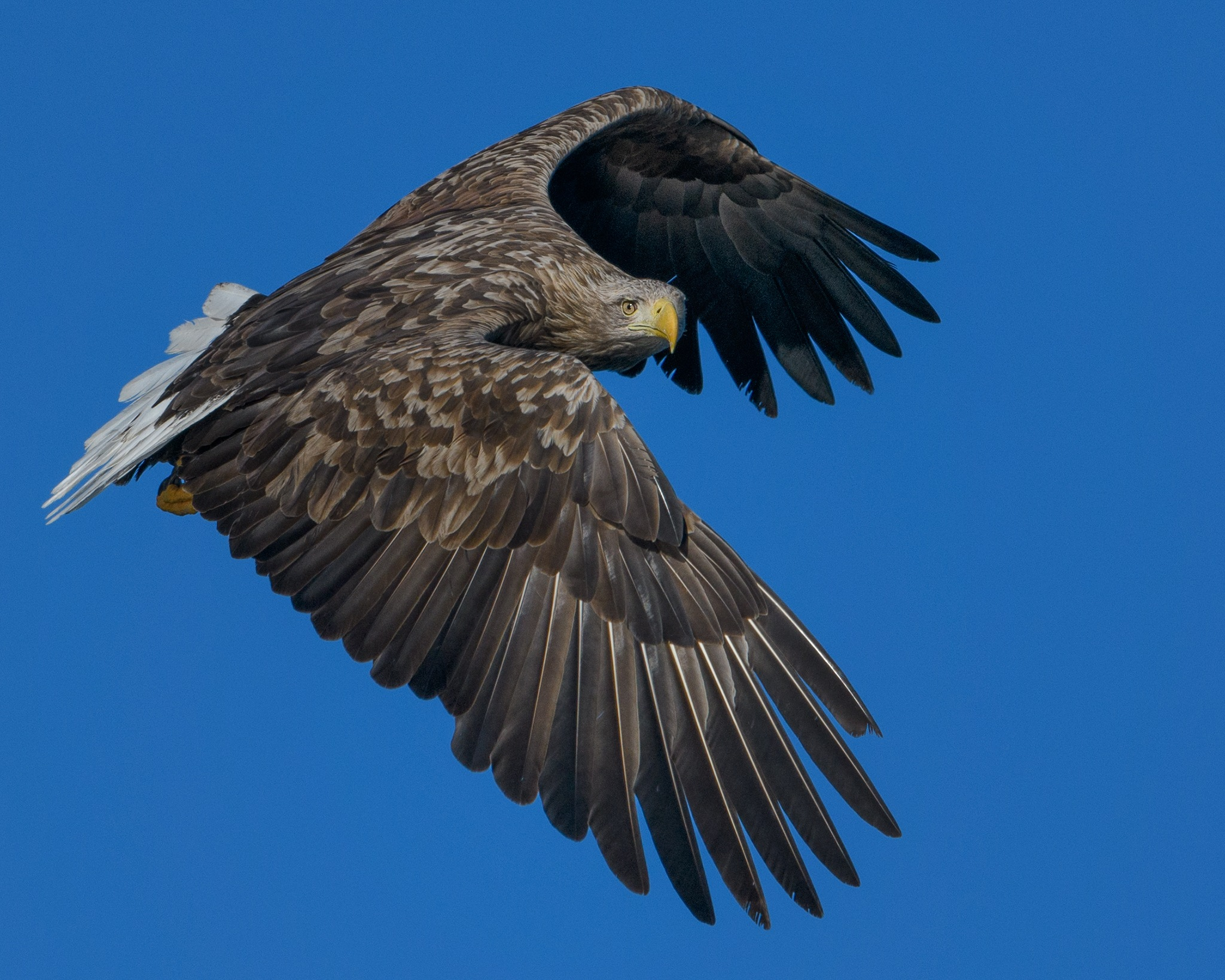 White tailed eagle by frode.wendelbo