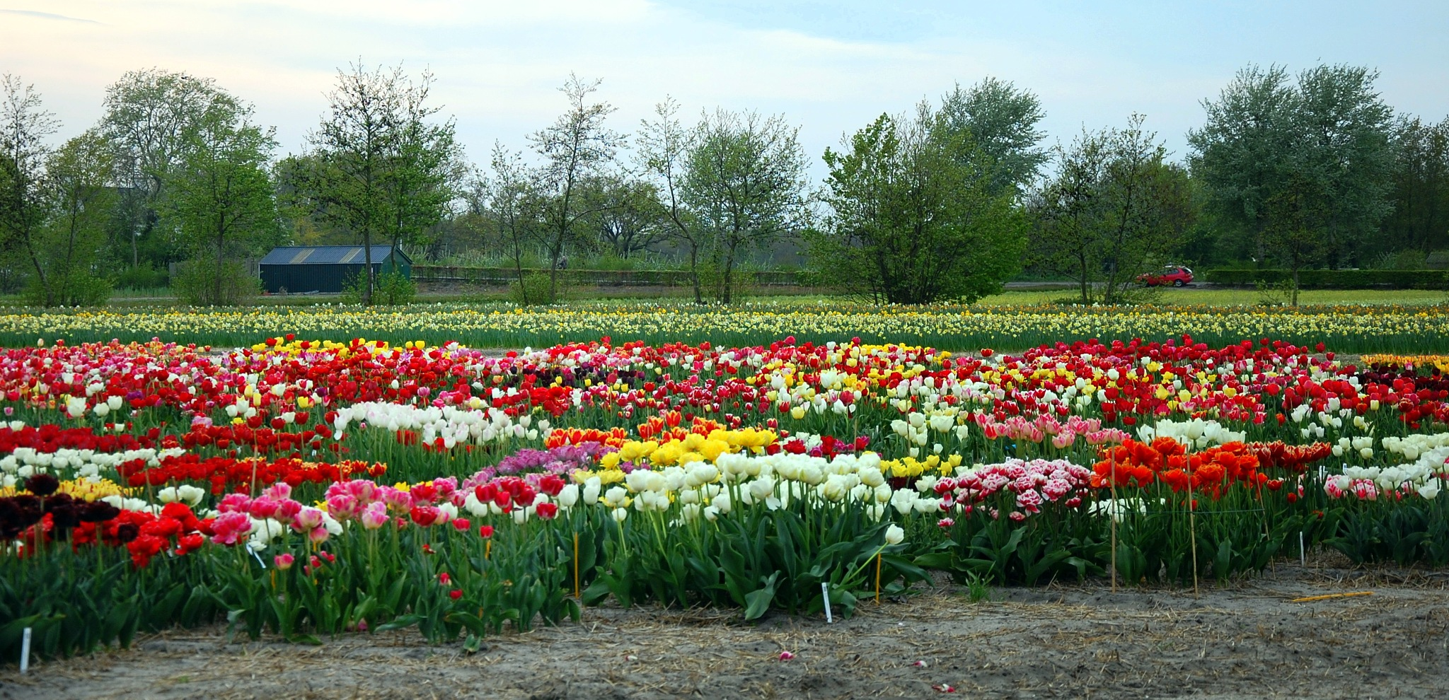 Tulpen droom by goga.dt