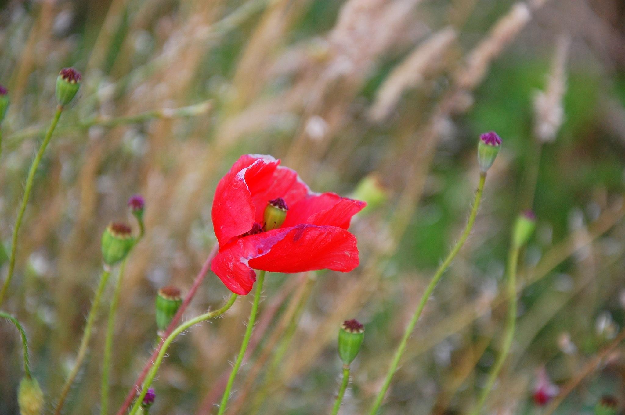Last Poppy by goga.dt
