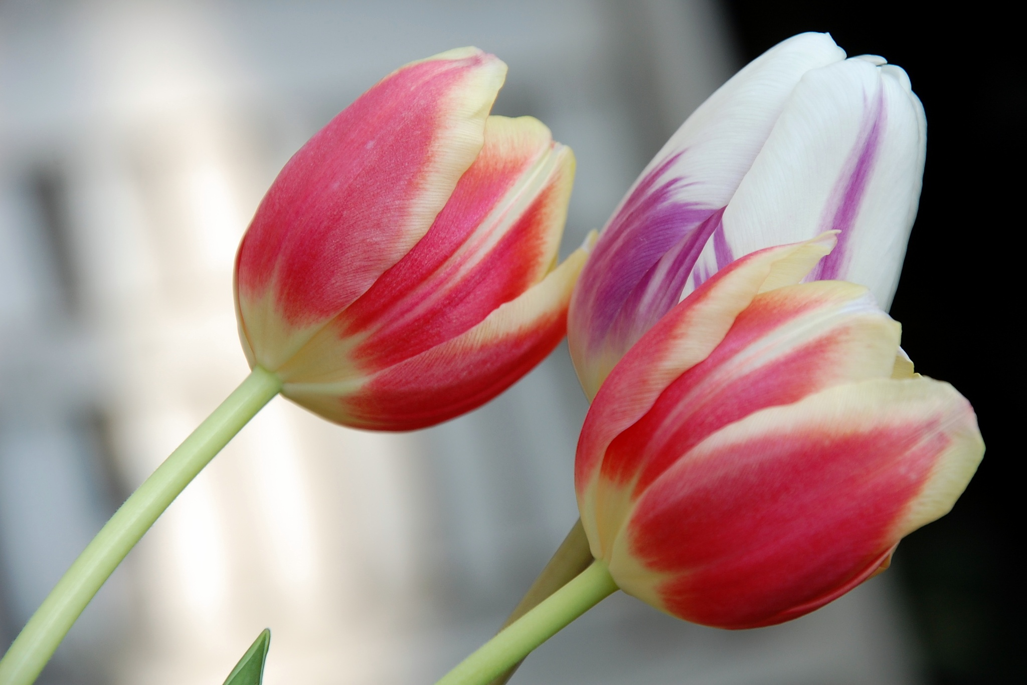 Photo in Nature #tulips #striped #white #purple #red #yellow #flowers #spring #garden #holland #netherlands